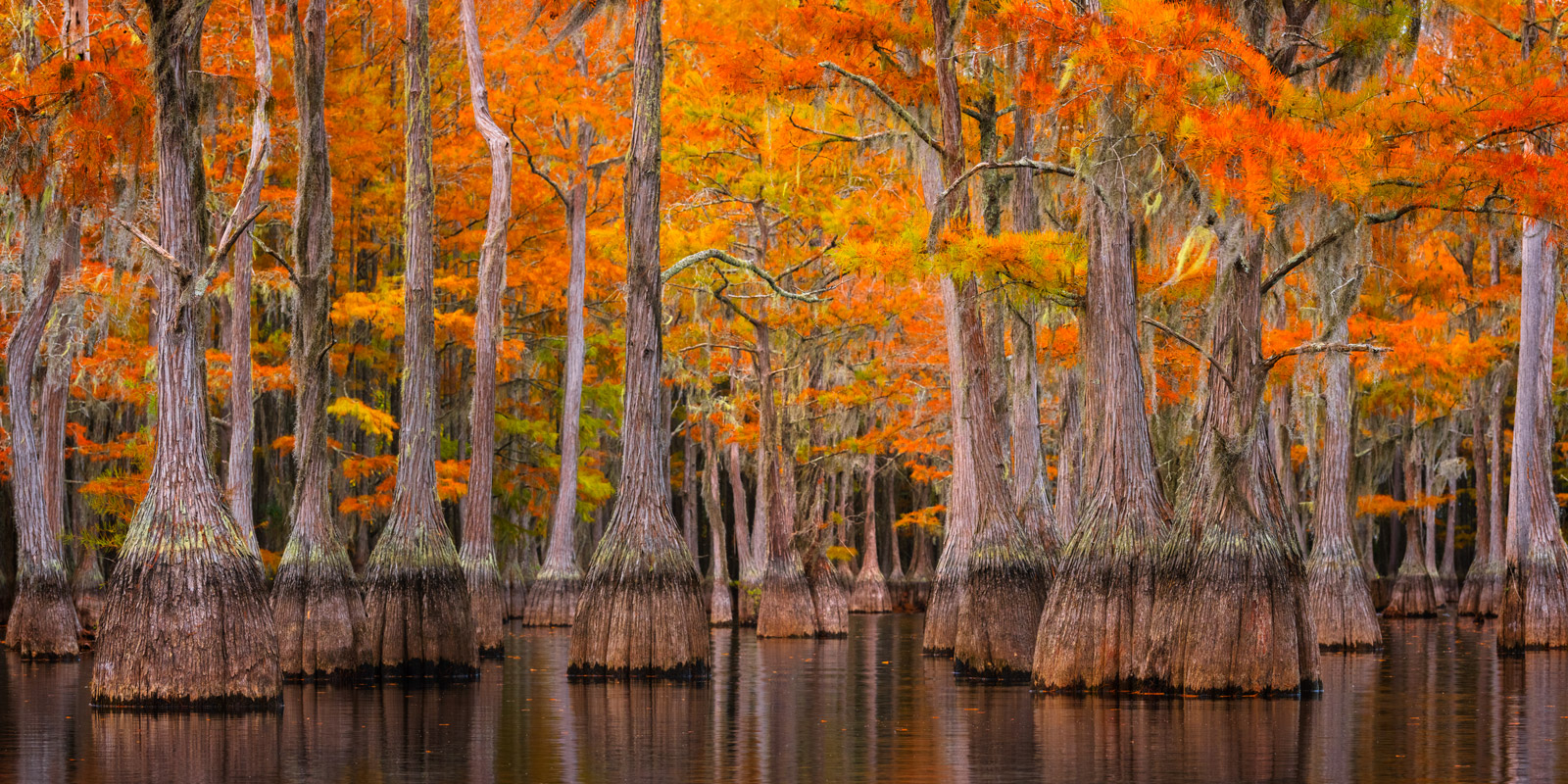 A Limited Edition, Fine Art photograph of a maze of Cypress trees in the fall in a Cypress Swamp in Georgia.  Available as a...