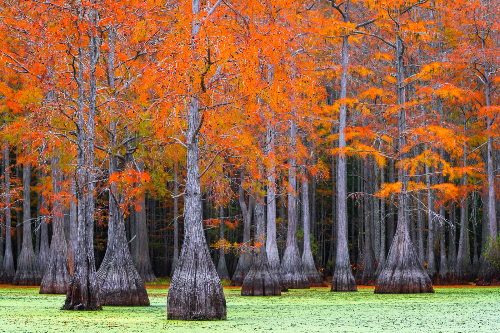 Georgia, Swamp, Cypress, Tree, Fall Color, photo