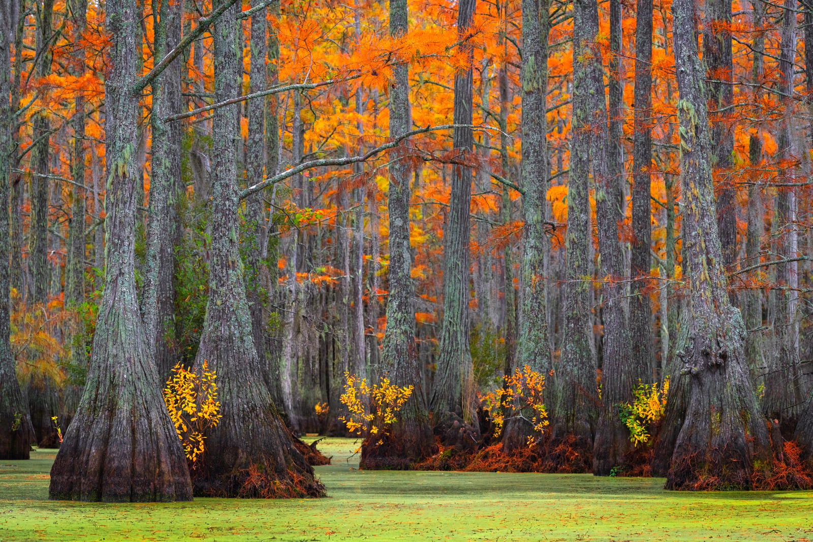 A Limited Edition, Fine Art photograph of the many colors in a Cypress Swamp during the fall in a Cypress Swamp in Georgia....