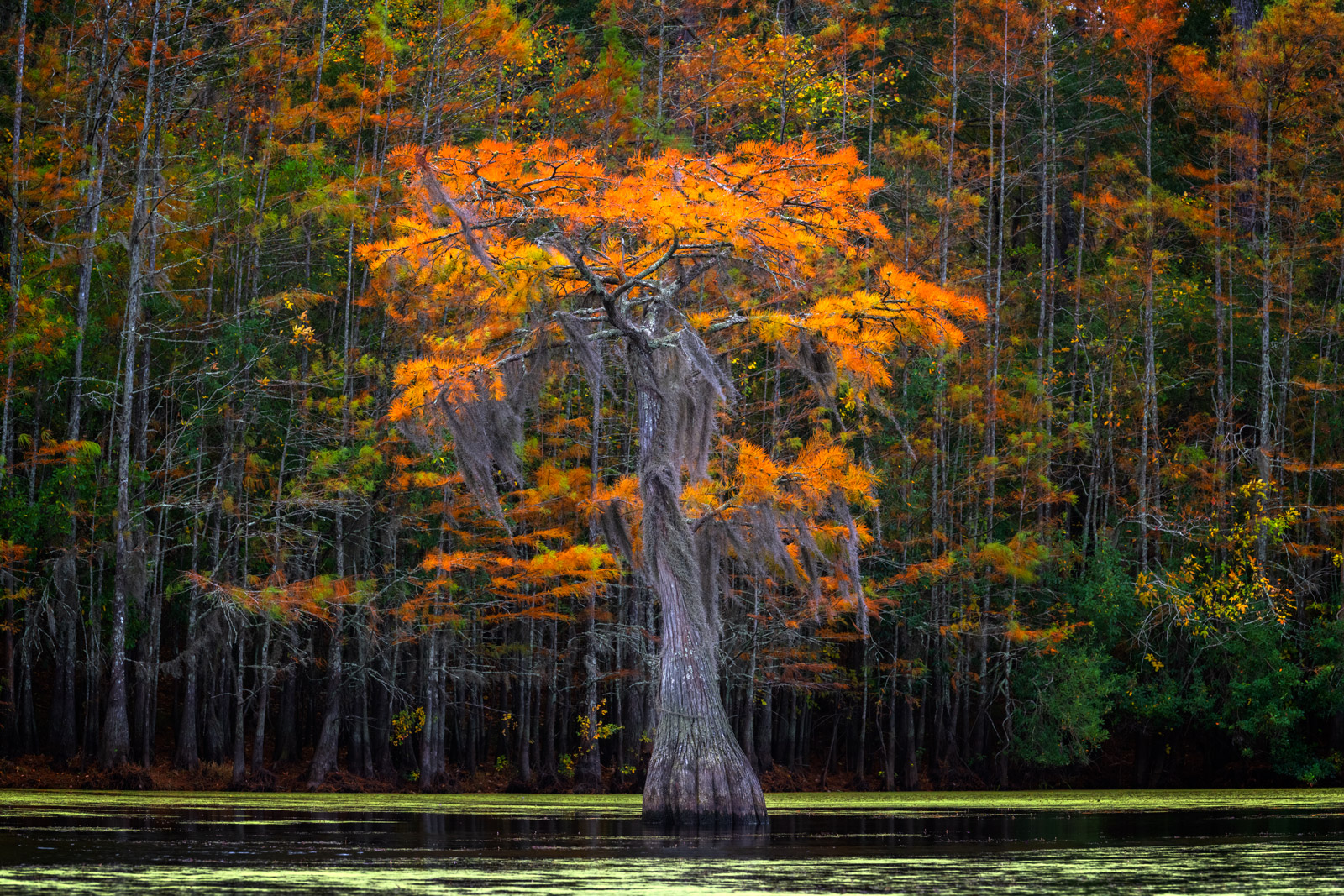 A Limited Edition, Fine Art photograph of a lone Cypress tree in the fall in a Cypress Swamp in Georgia.  Available as a Fine...