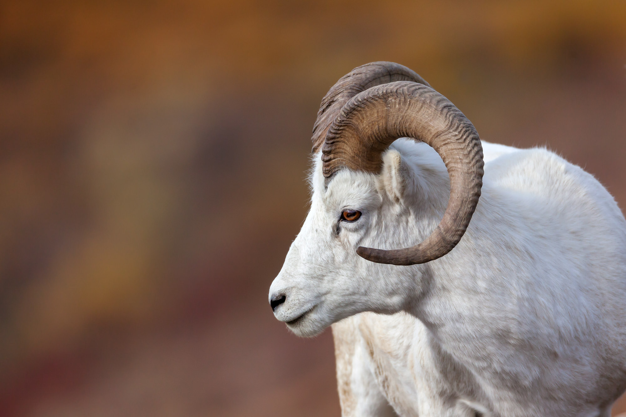 Dall Sheep Fine Art Photography A Limited Edition photograph of a white Dall Sheep looking to it's right at Denali National Park...
