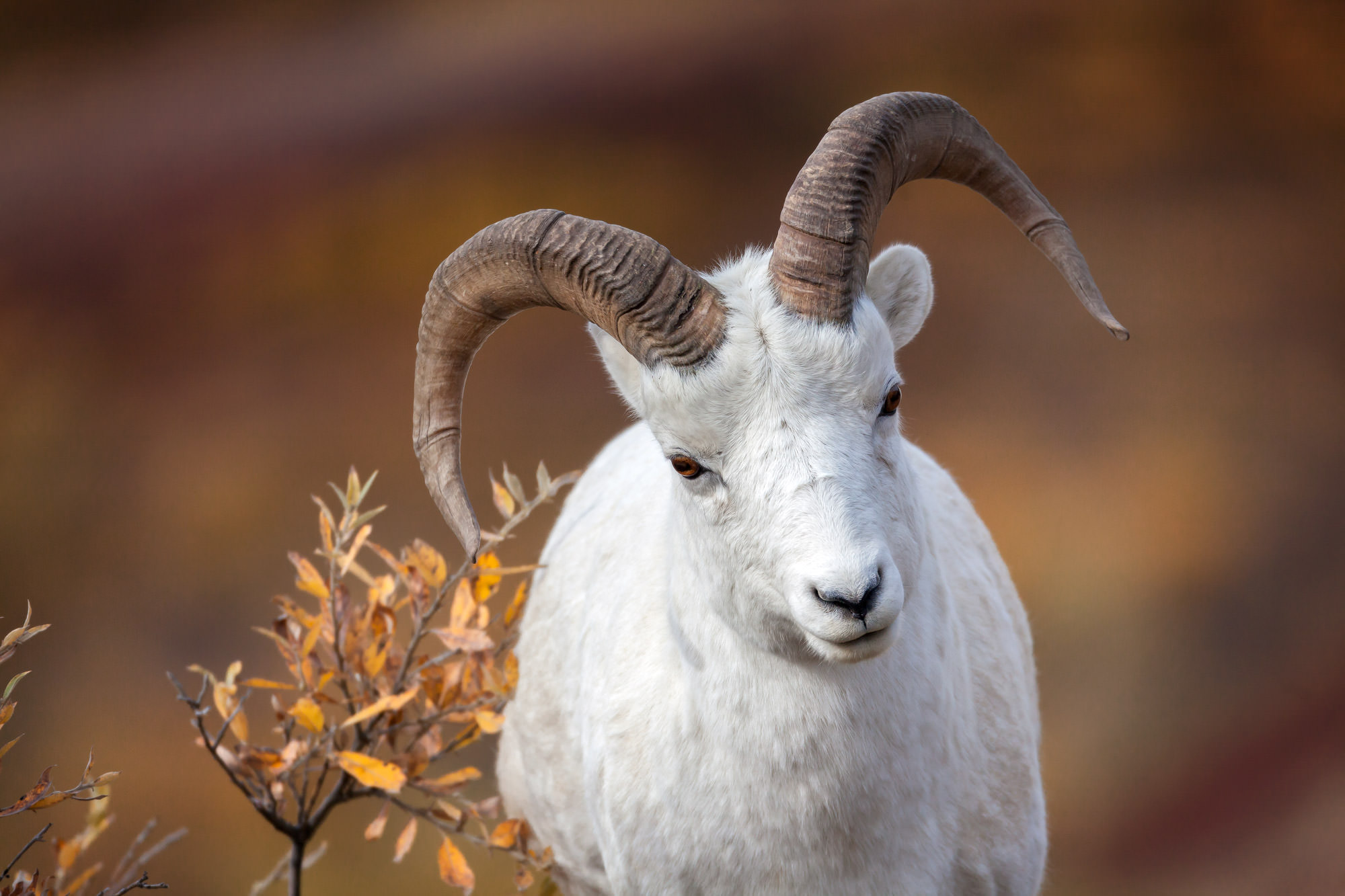 Dall Sheep Fine Art Photography A Limited Edition photograph of a Dall Sheep looking quizical and not sure of the next move at...
