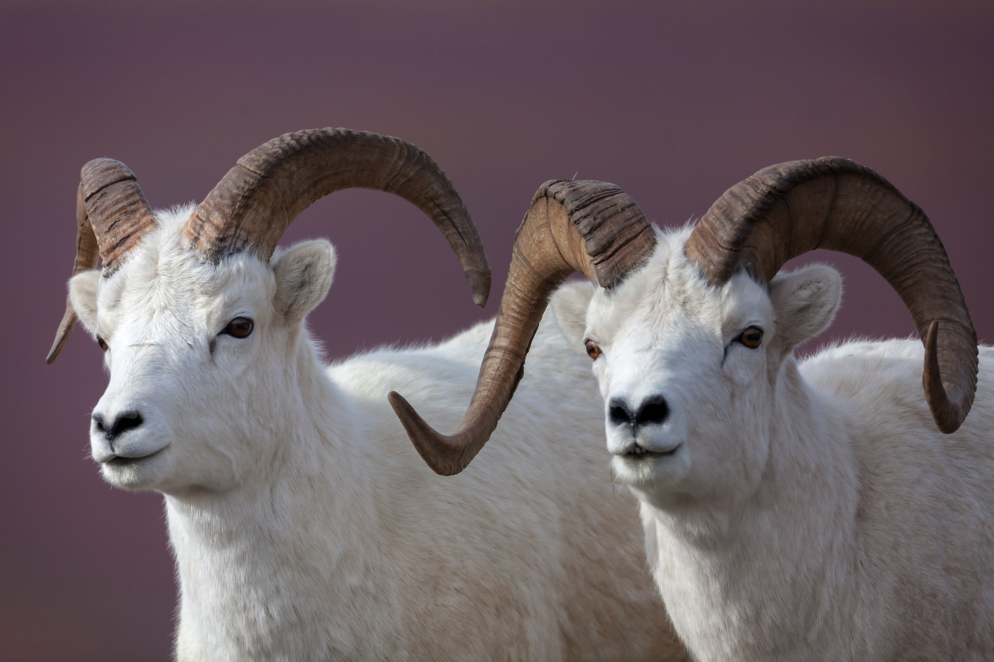 Dall Sheep Fine Art Photography A Limited Edition photograph of twin Dall Sheep next to each other, a Double Dall, at Denali...