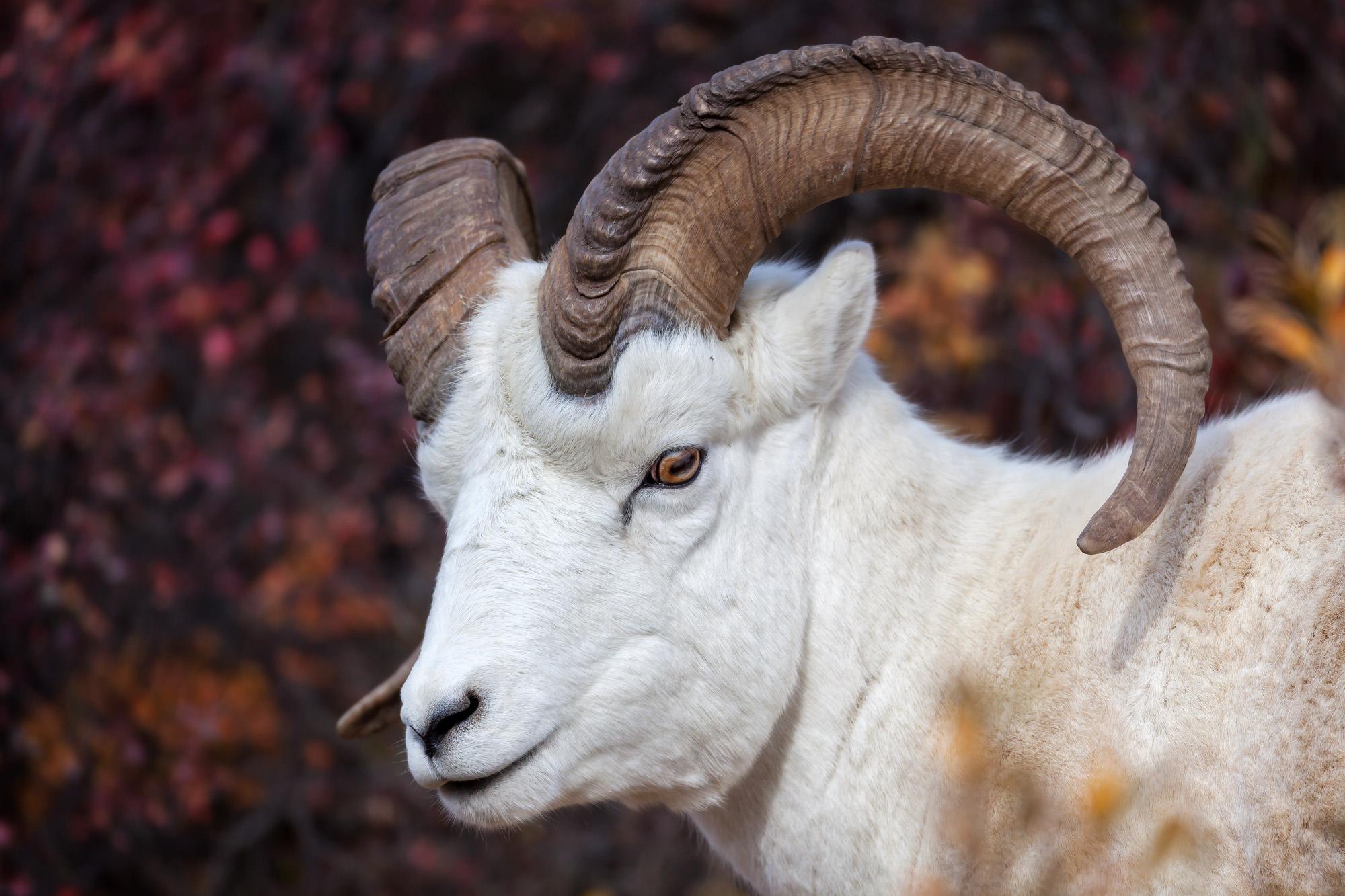 Dall Sheep, Alaska, Denali, limited edition, photograph, fine art, wildlife, photo