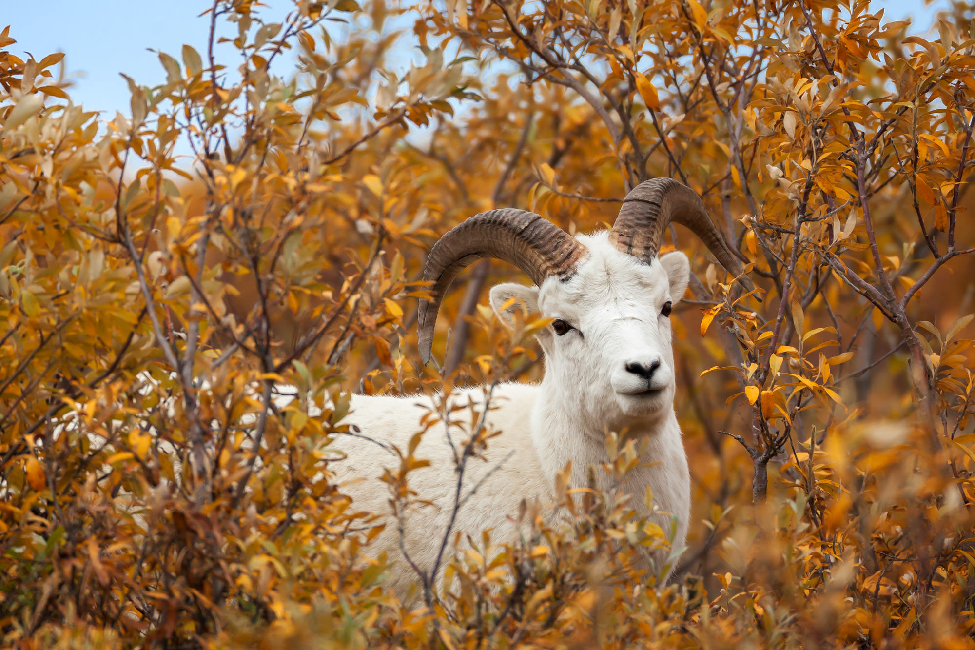 Dall Sheep, Alaska, Denali, fall color, limited edition, photograph, fine art, wildlife, photo