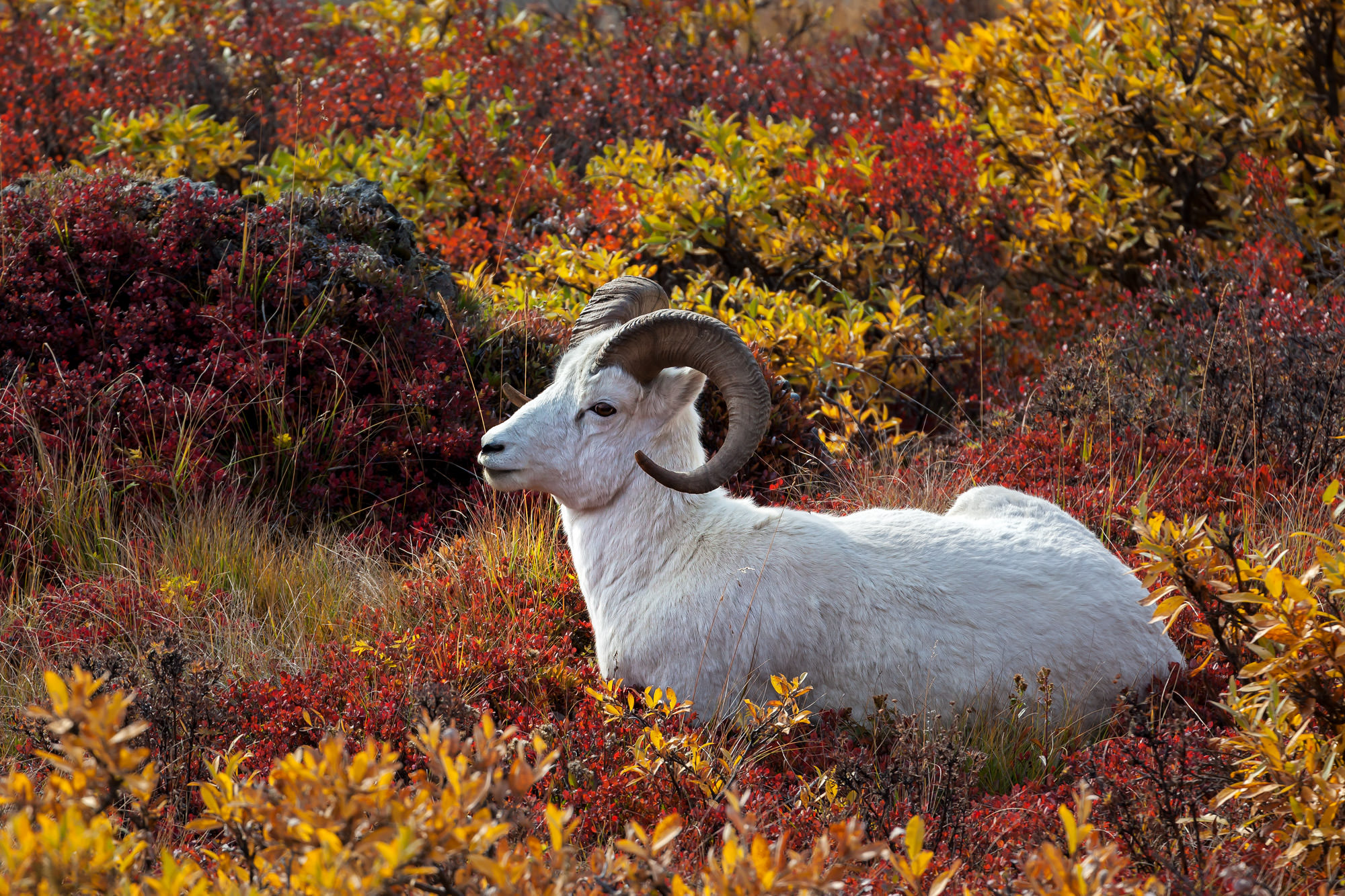 Dall Sheep Fine Art Photography A Limited Edition photograph of a white Dall Sheep laying in brillian fall color at Denali National...
