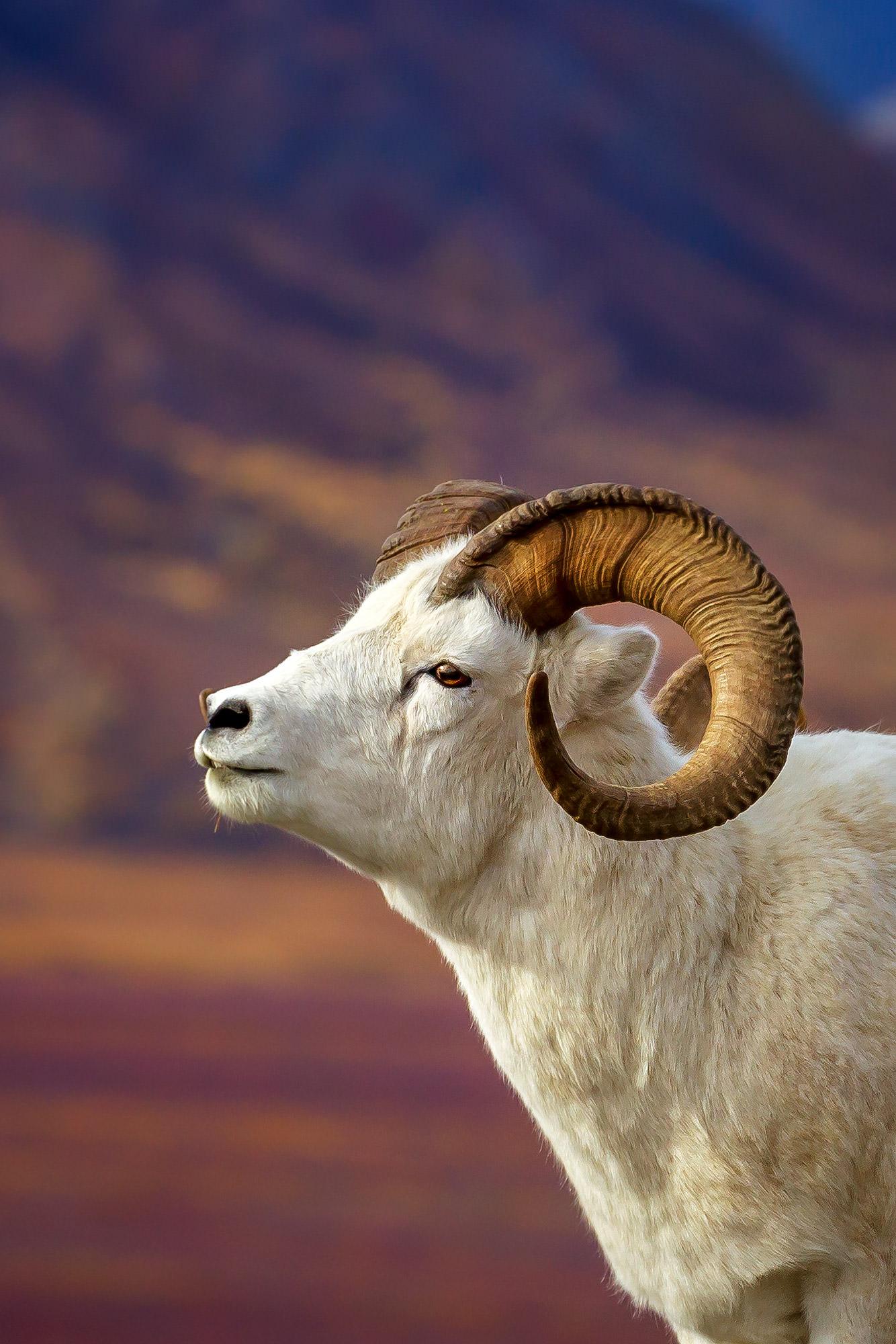 Dall Sheep, Alaska, Denali, Curl, National Park, limited edition, photograph, fine art, wildlife, photo