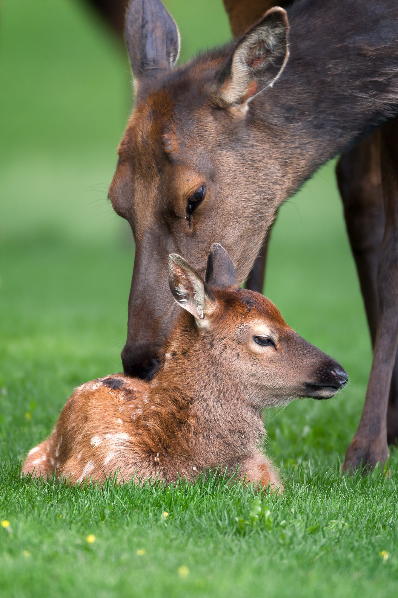 Elk Fine Art Photography A Limited Edition photograph of a small Elk calf being cleaned by it's mom at Yellowstone National Park...