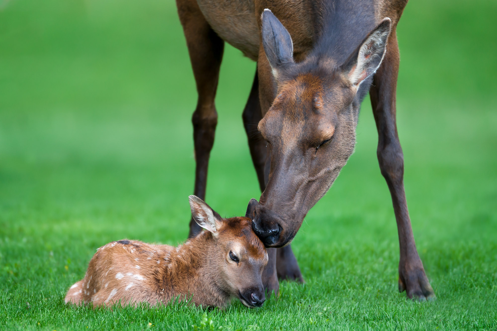 Elk, Calf, Wyoming, Yellowstone, limited edition, photograph, fine art, wildlife, photo