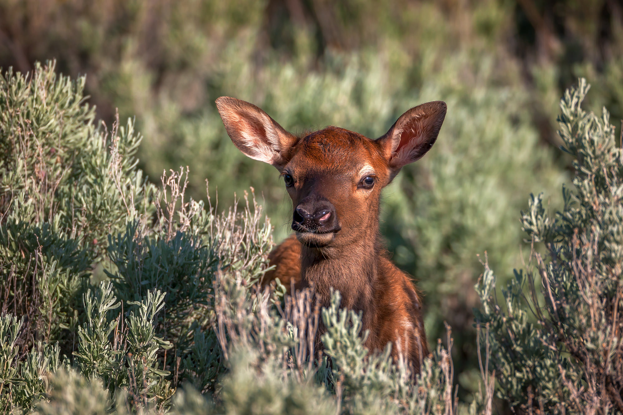 Elk Fine Art Photography A Limited Edition photograph of an Elk calf playing peek-a-boo in the bushes at Yellowstone National...