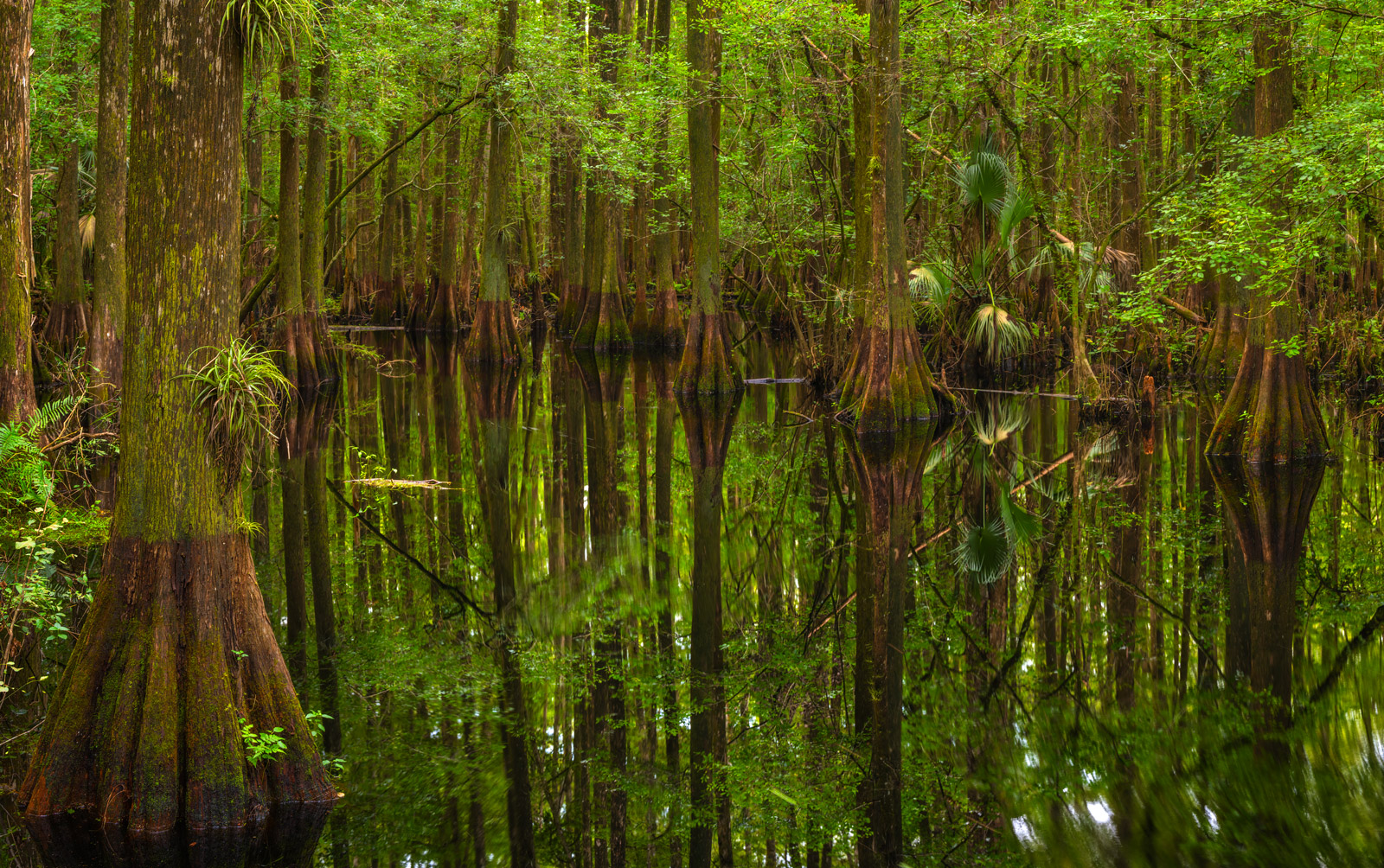 A Limited Edition, Fine Art photograph of a Cypress Swamp in Highlands Hammock State Park in Florida. Available as a Fine Art...