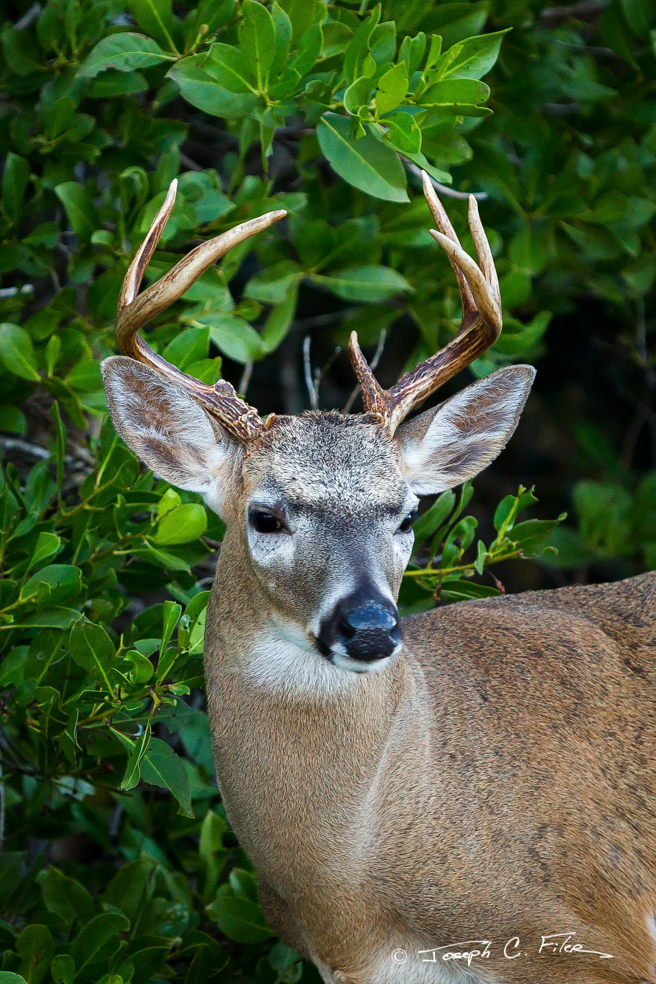 Deer, Key Deer, Florida, Big Pine Key, limited edition, photograph, fine art, wildlife, photo
