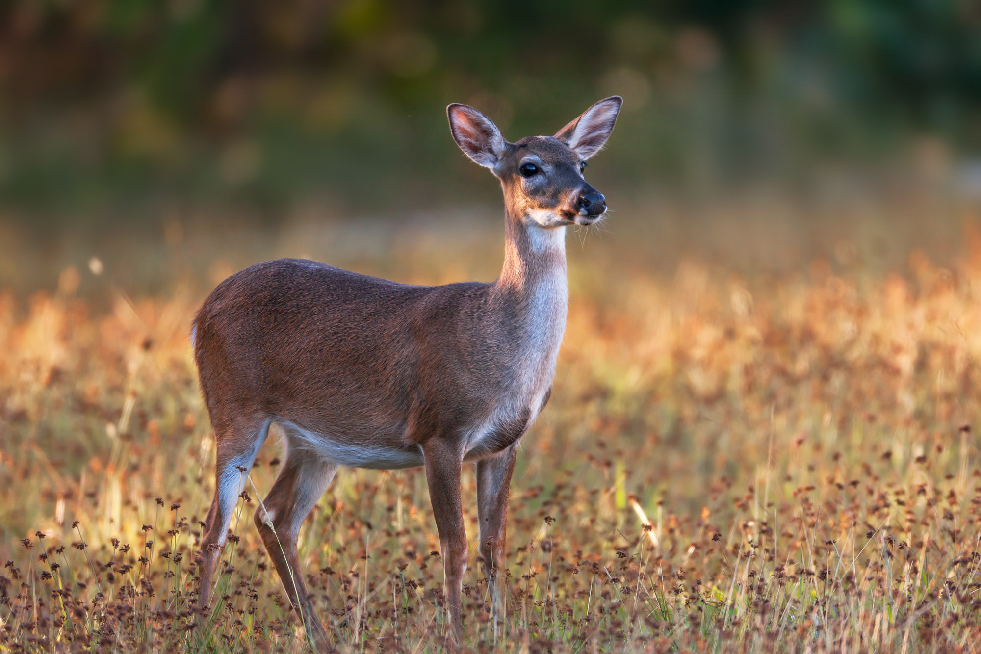 Whitetail Key Deer Fine Art Photography A Limited Edition photograph of a beautiful Key Deer doe in the early morning light at...
