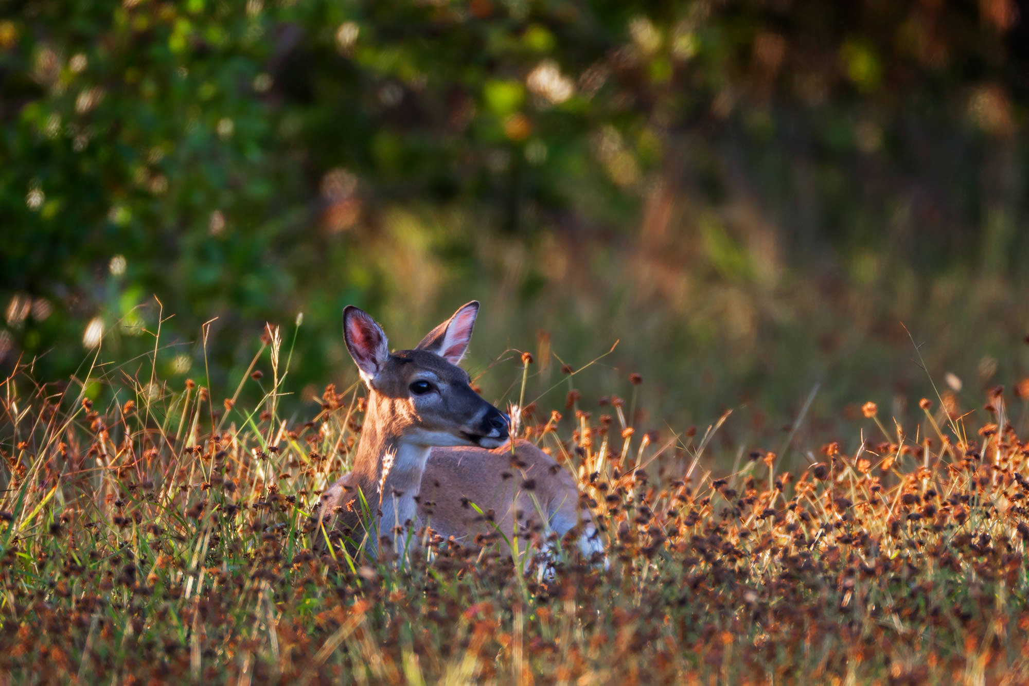 Whitetail Key Deer Fine Art Photography A Limited Edition photograph of a Key Deer doe almost hidden in the tall grass at Big...