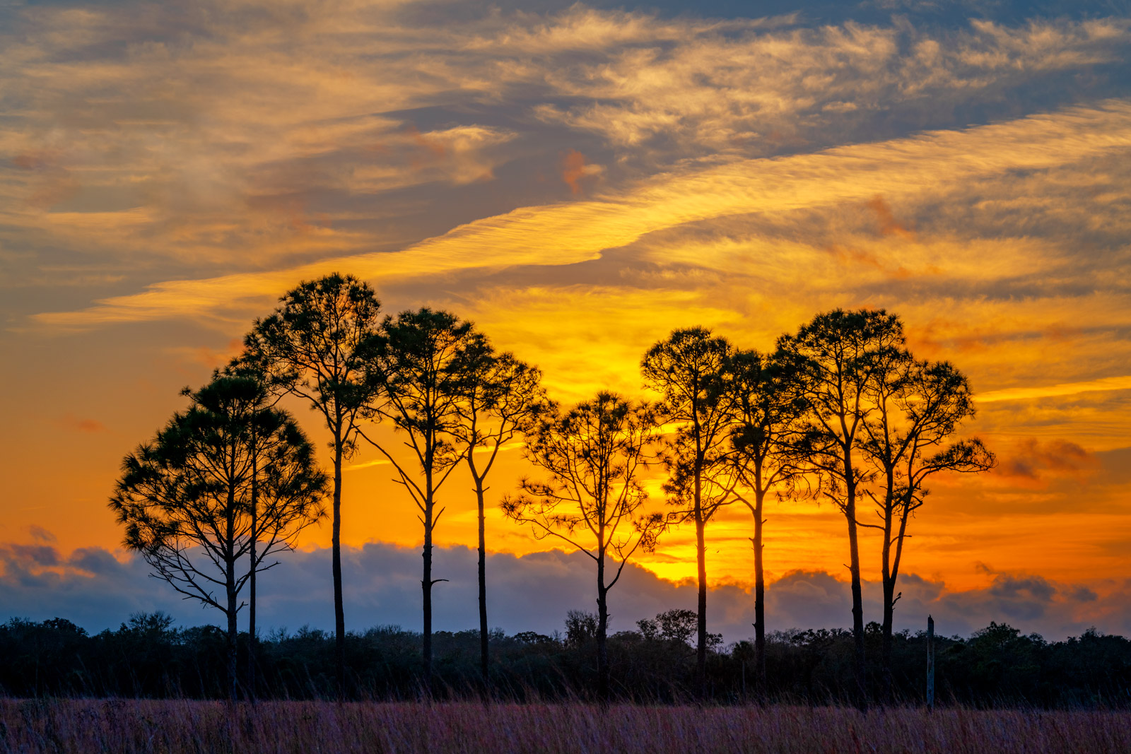 A Limited Edition, Fine Art photograph of a group of Pine Trees in front of a brilliant sunset in an open field in Southwest...