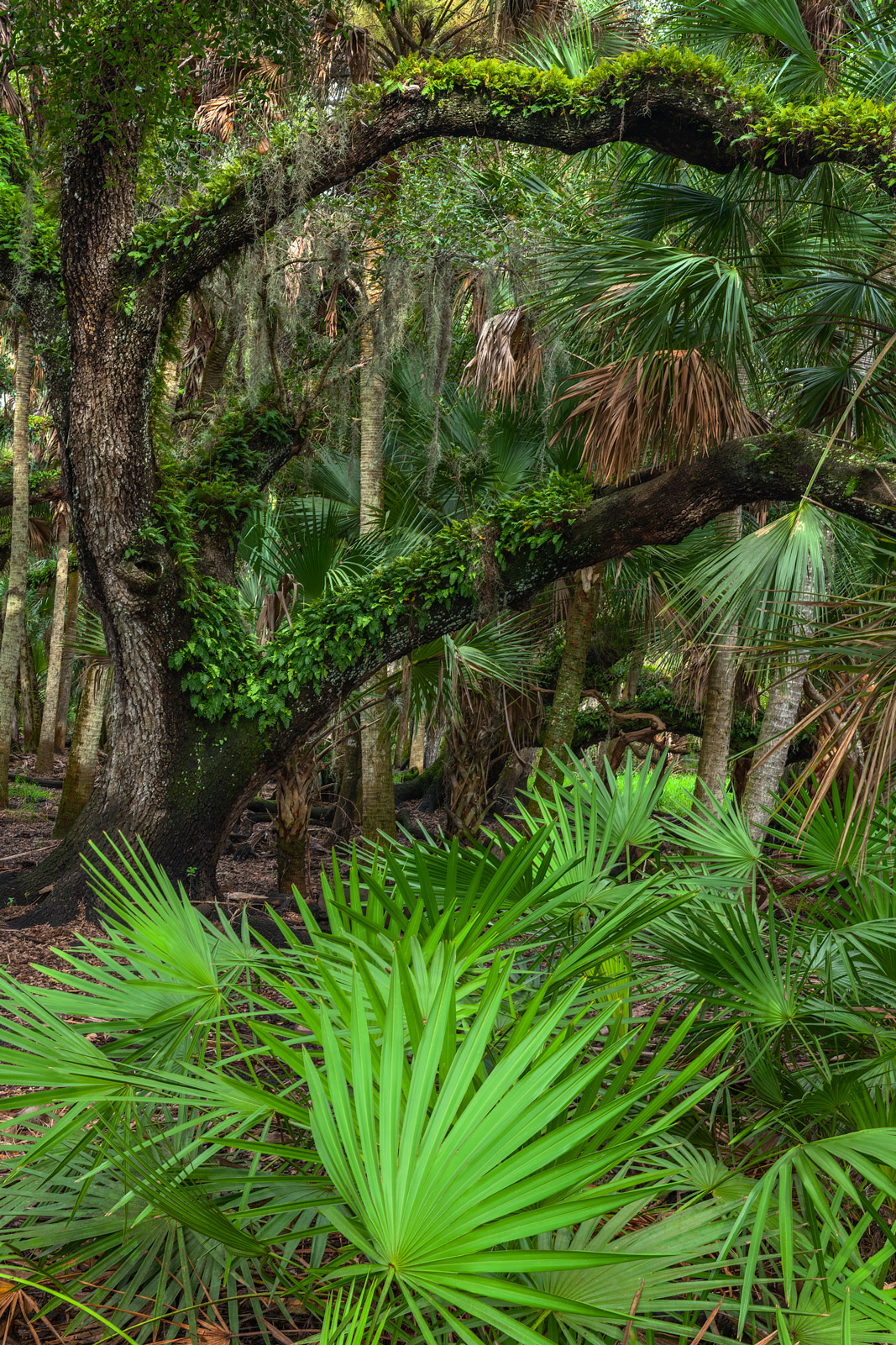 A Limited Edition, Fine Art photograph of Palmetto bushes and a large oak tree in the forest at Myakka River State Park, Florida...