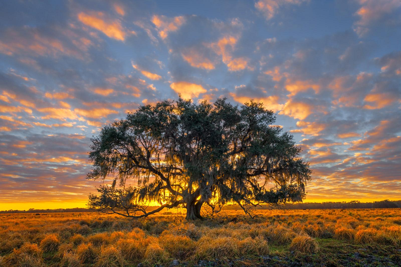 Florida, Sunrise, Oak, Tree, photo
