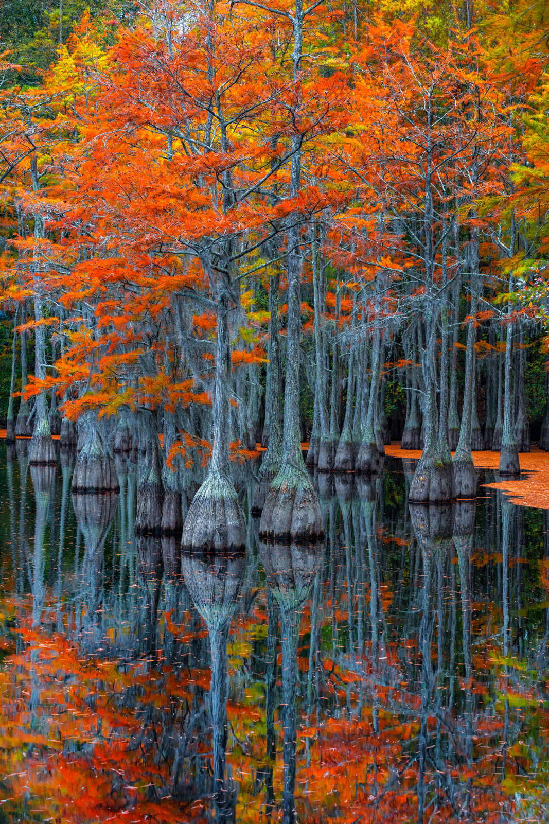 A Limited Edition, Fine Art photograph of the reflections in the water of cypress trees displaying fall colors in a cypress swamp...
