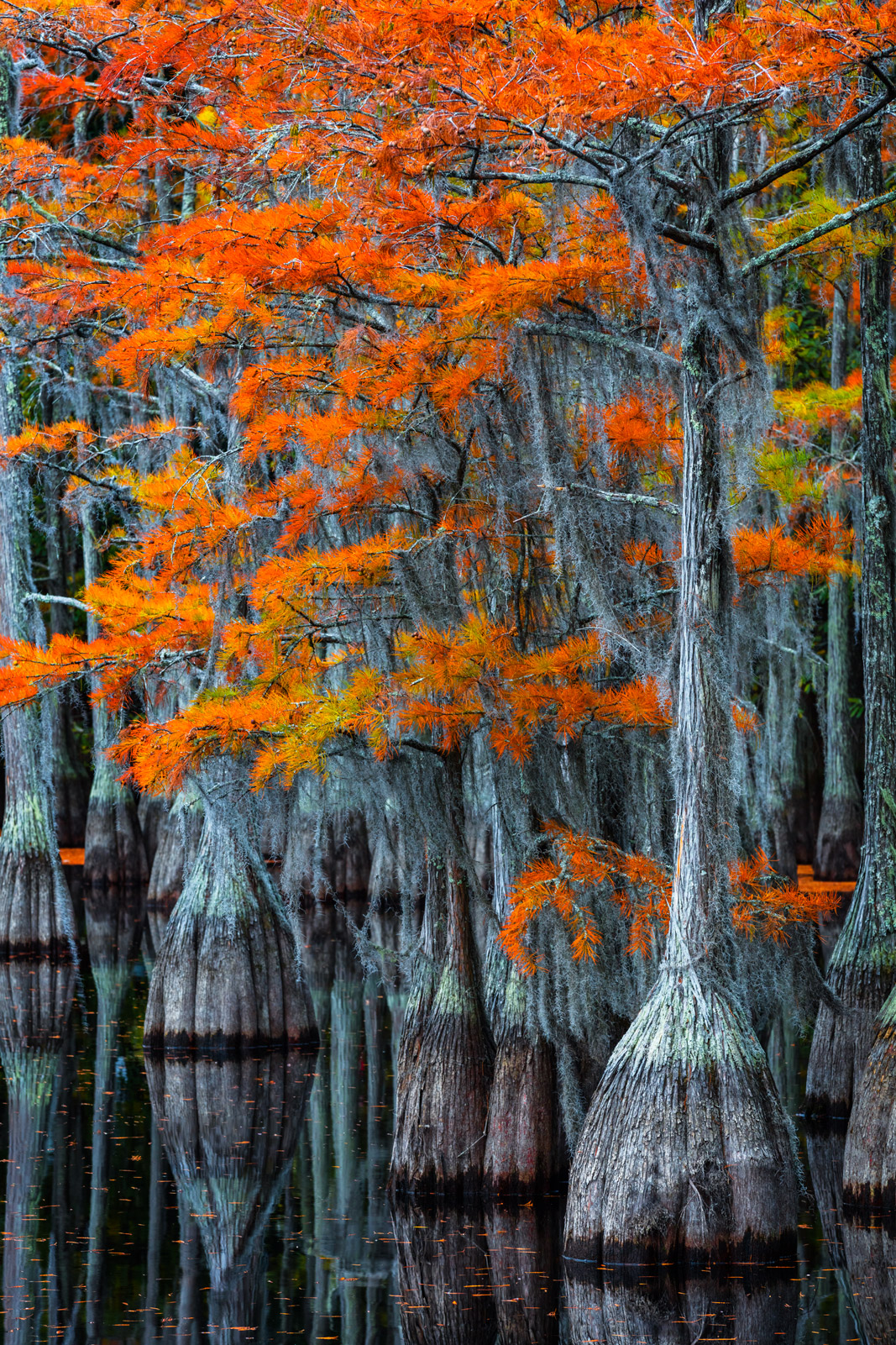 Georgia, Swamp, George Smith, fall color, cypress trees, photo