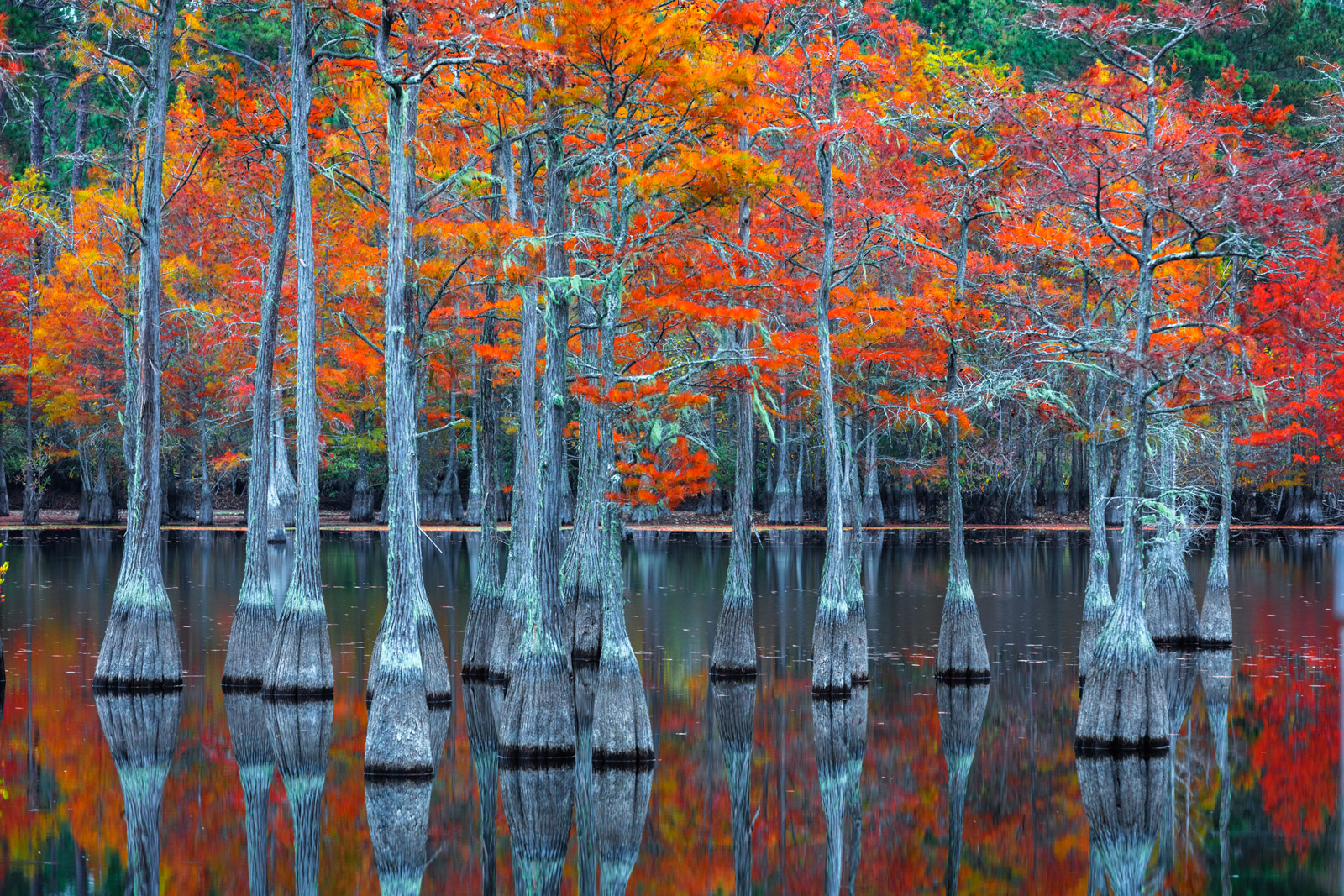 A Limited Edition, Fine Art photograph of a beautiful grouping of cypress trees displaying their orange fall color in a swamp...