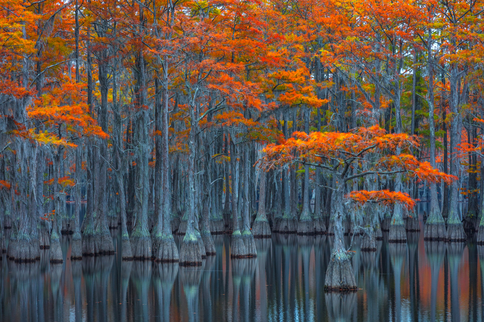 A Limited Edition, Fine Art photograph of a small cypress tree surrounded by larger ones displaying orange fall color in a swamp...
