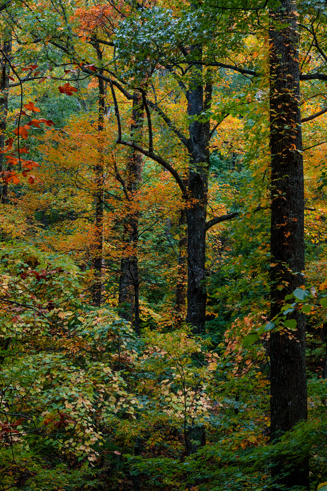 A Limited Edition, Fine Art photograph of the changing colors of the among the trees during fall in a forest in the Georgia mountains...