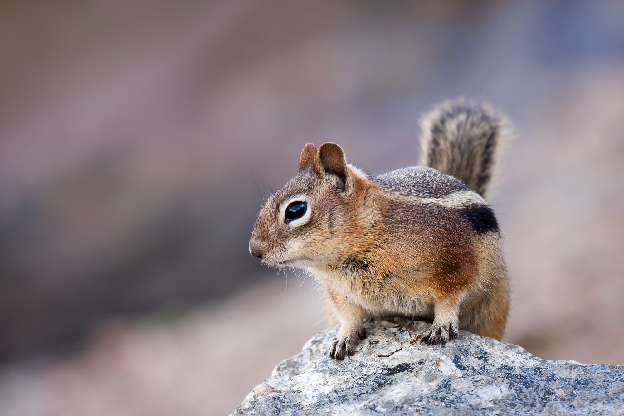 Ground Squirrel Fine Art Photography A Limited Edition photograph of a cute Ground Squirrel perched high on a rock at Rocky Mountain...