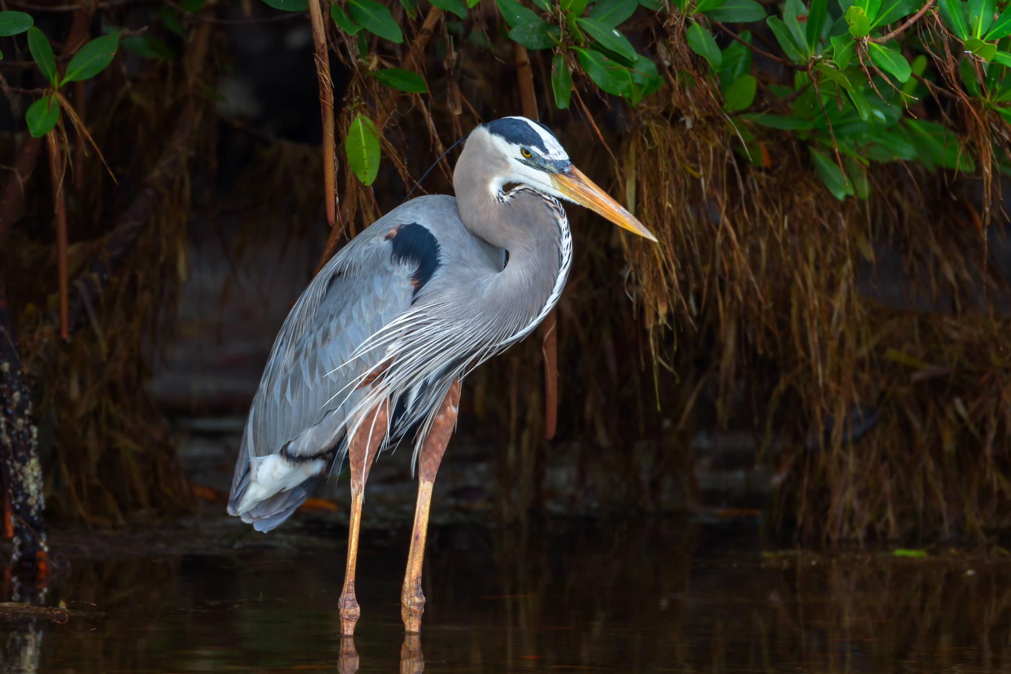 Heron Fine Art Bird Photography A Limited Edition photograph of a Great Blue Heron standing motionless in dark, calm water in...