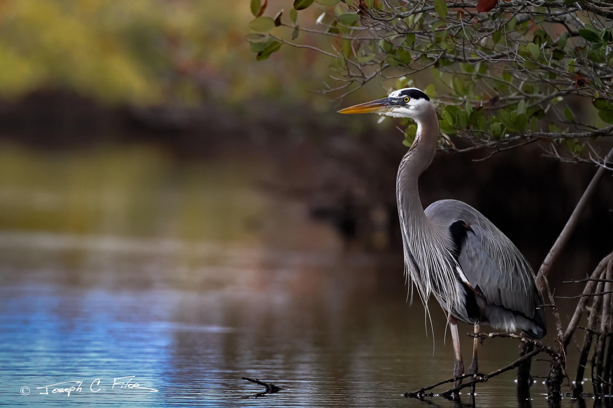 Heron Fine Art Bird Photography A Limited Edition photograph of a Great Blue Heron hanging out by the mangroves at Merritt Island...