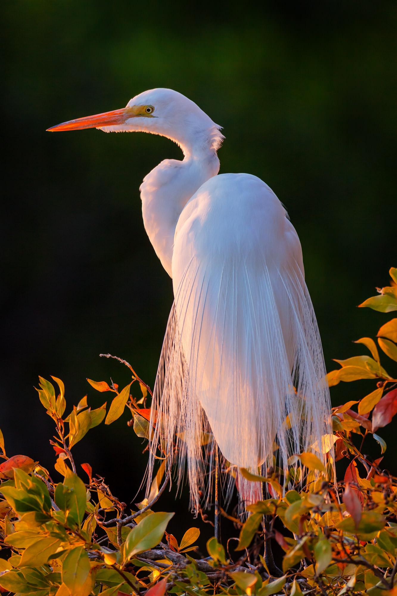 Egret, Great Egret, Florida, photo