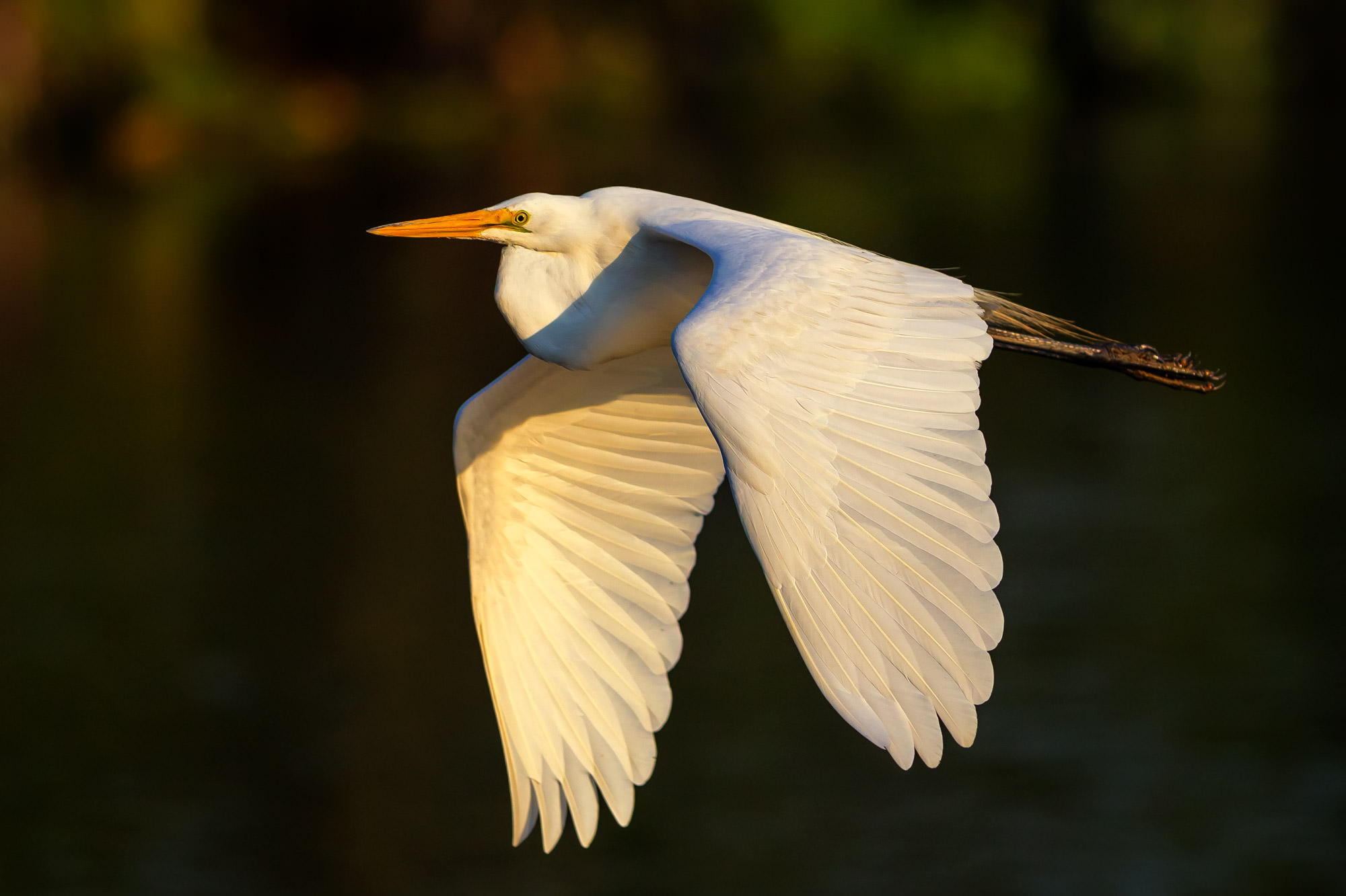 Egret Fine Art Bird Photography A Limited Edition photograph of a Great Egret doing a low morning fly by over the water in Central...