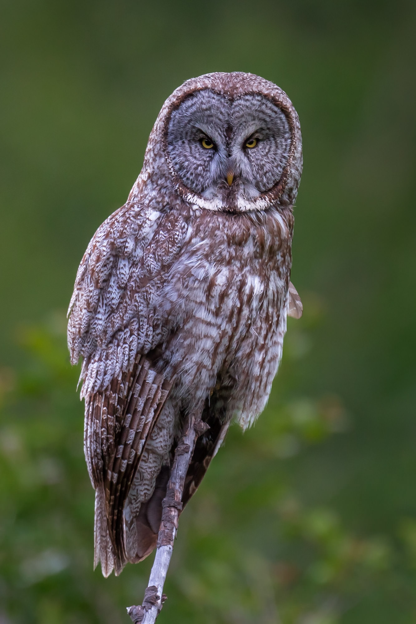 Hawk and Owl Fine Art Photography A Limited Edition photograph of a Great Gray Owl doing a stare down with the camera at Grand...