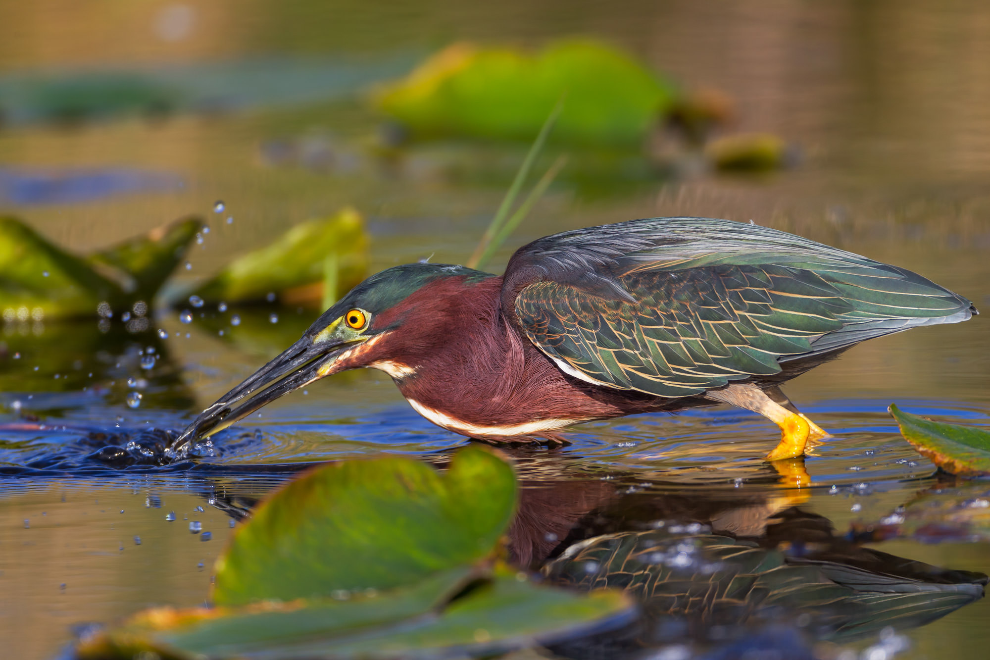 Heron, Green Heron, Florida, photo