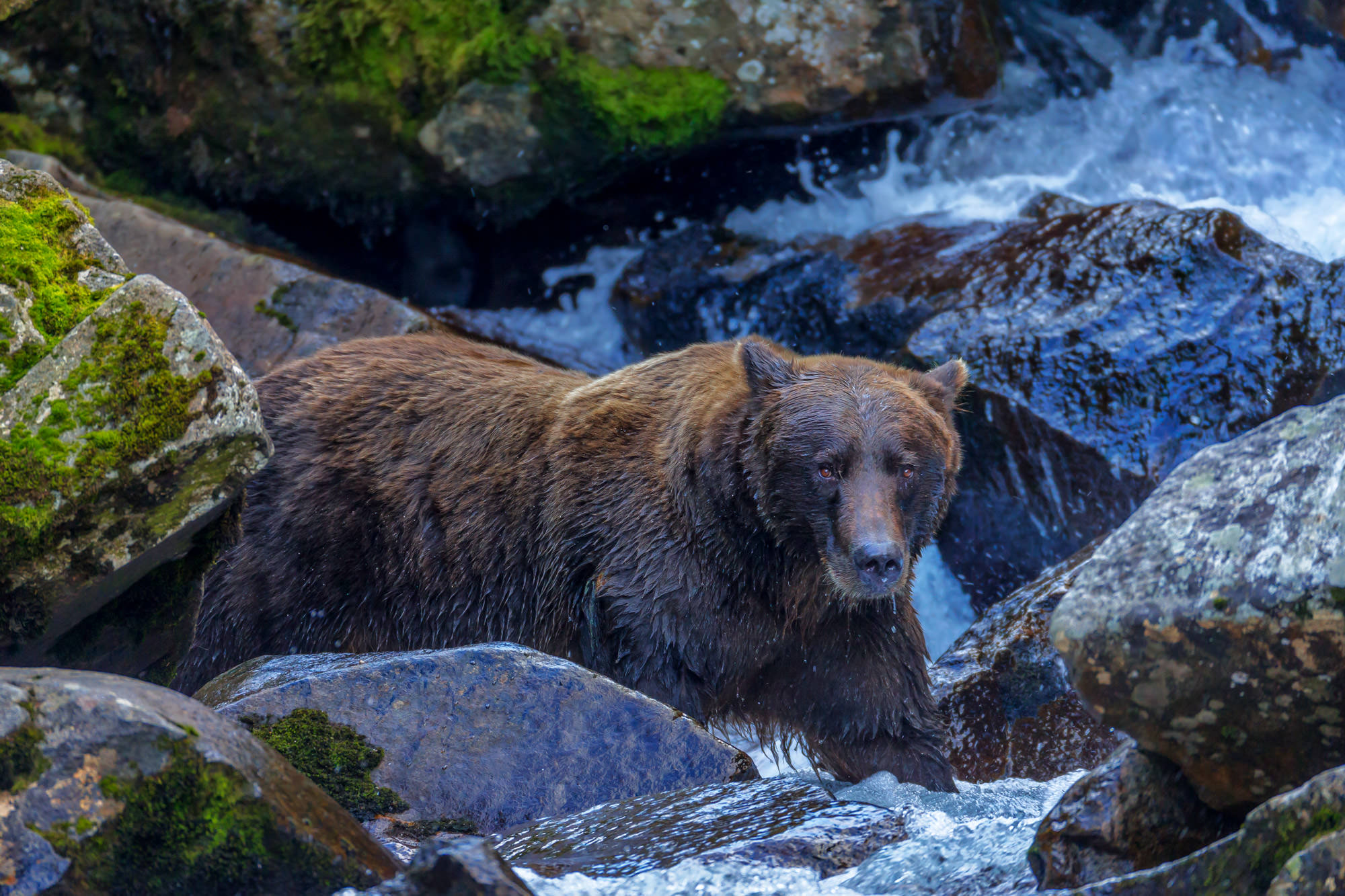 Grizzly Bear Fine Art Photography A Limited Edition photograph of a Grizzly Bear fishing for salmon in the rocks at Katmai National...