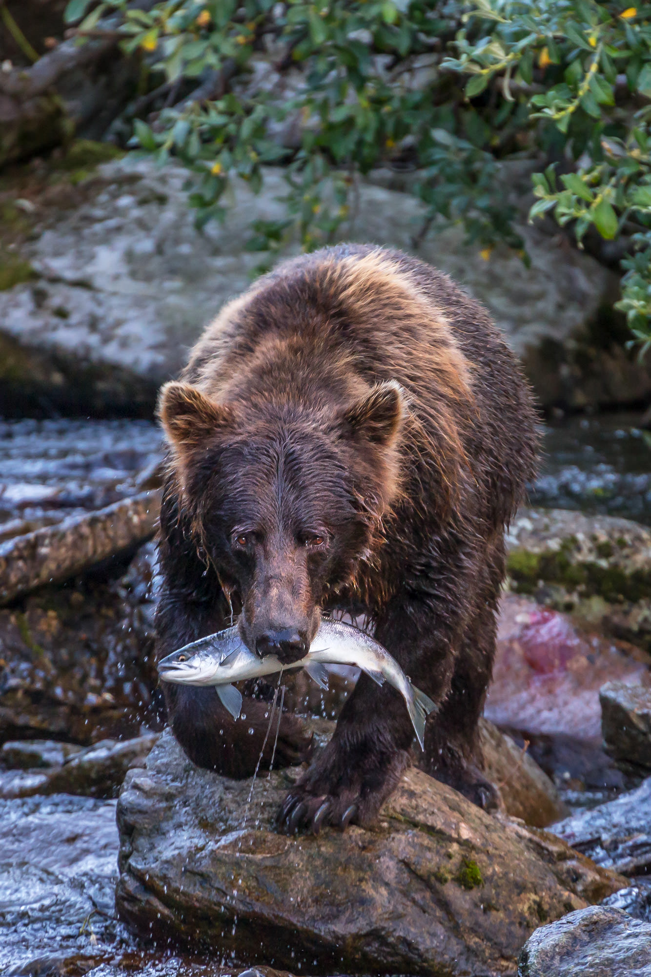 Bear, Brown Bear, Grizzly Bear, Fishing, Salmon, Alaska, photo
