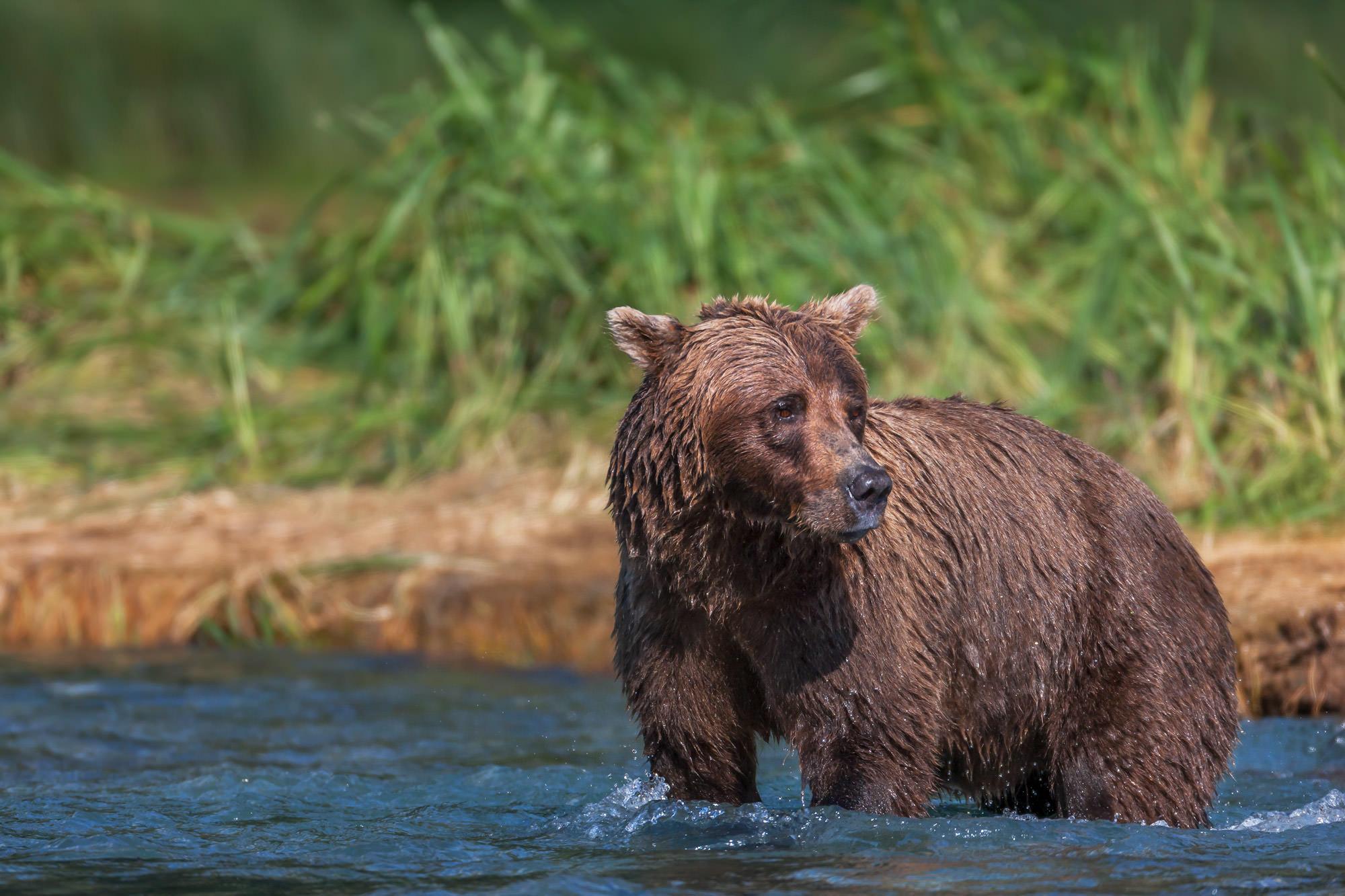 Bear, Brown Bear, Grizzly Bear, Fishing, Salmon, Alaska, photo