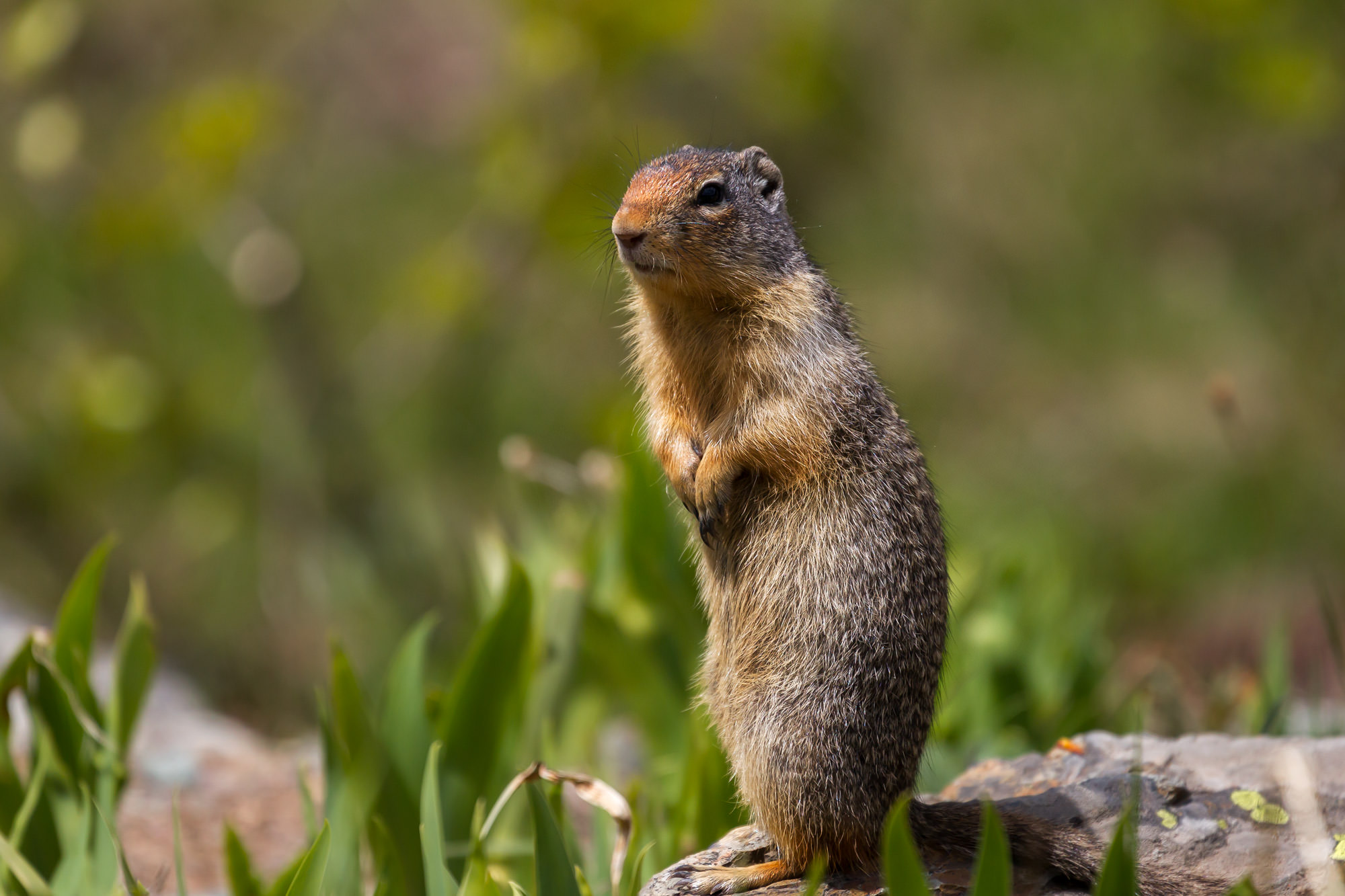 Ground Squirrel, Glacier, National Park, limited edition, photograph, fine art, wildlife, photo