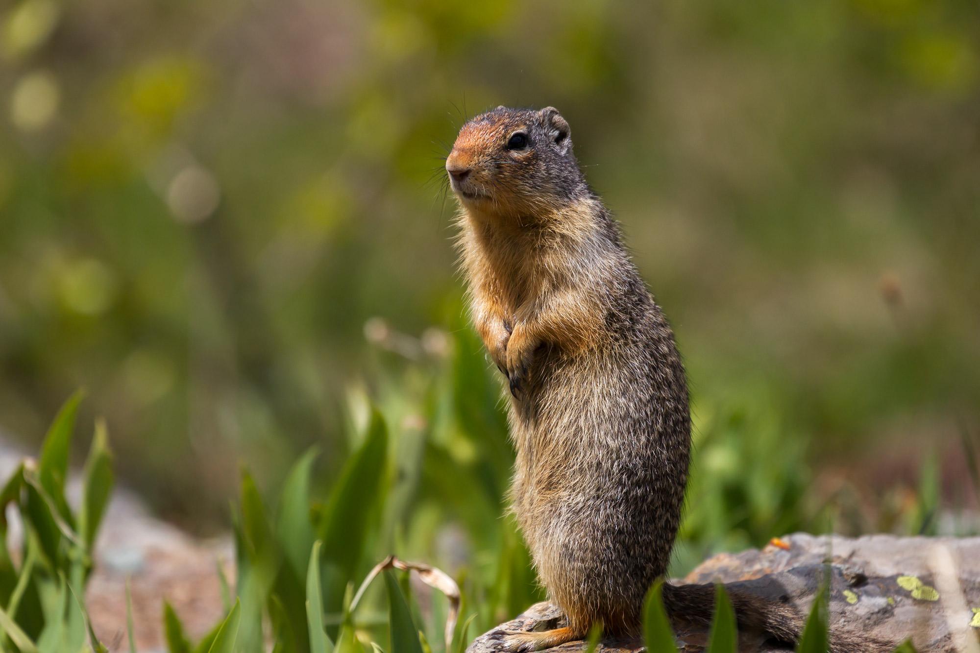 Ground Squirrel, photo