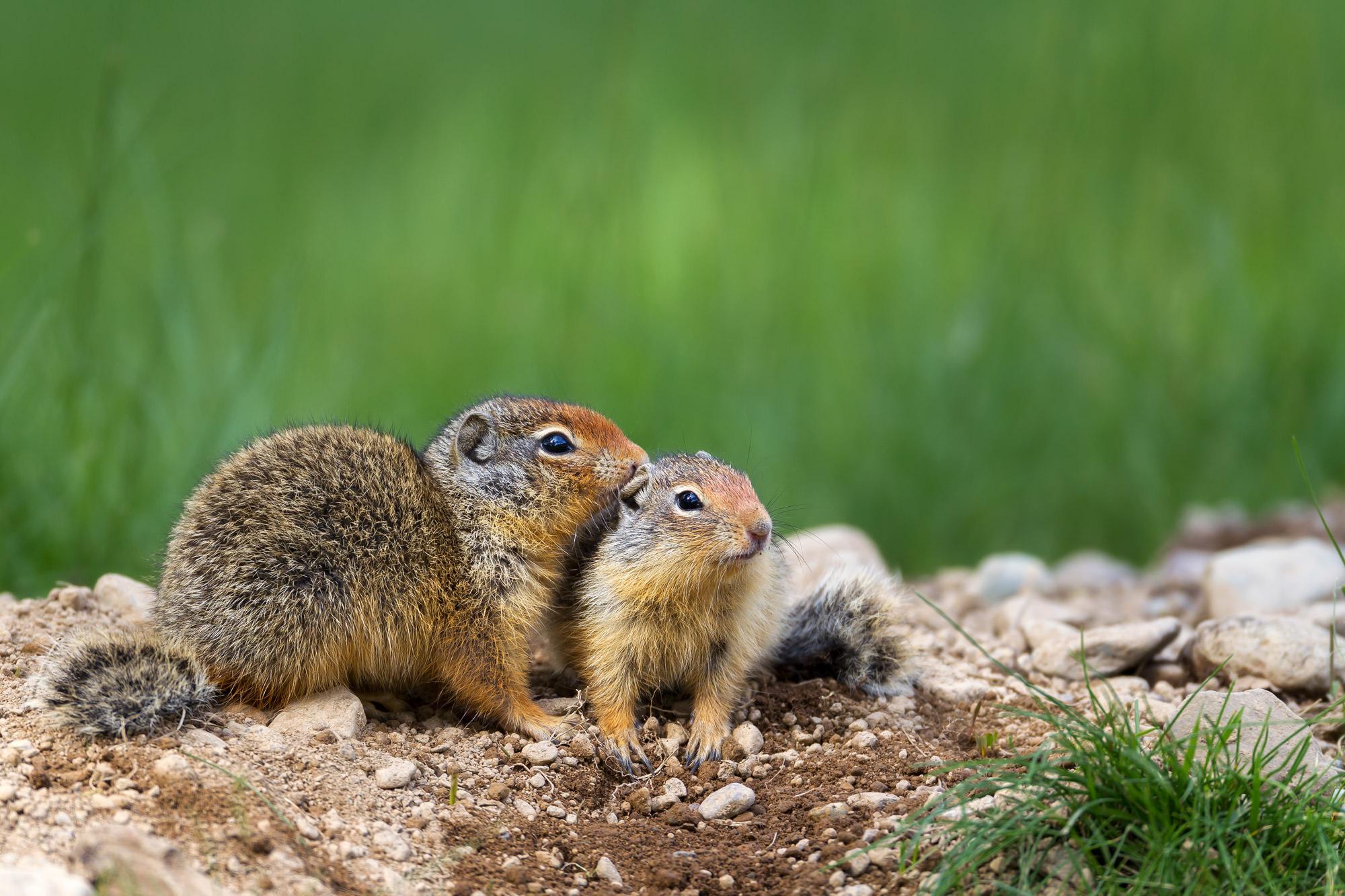 Ground Squirrel, Glacier, National Park, Montana, limited edition, photograph, fine art, wildlife, photo
