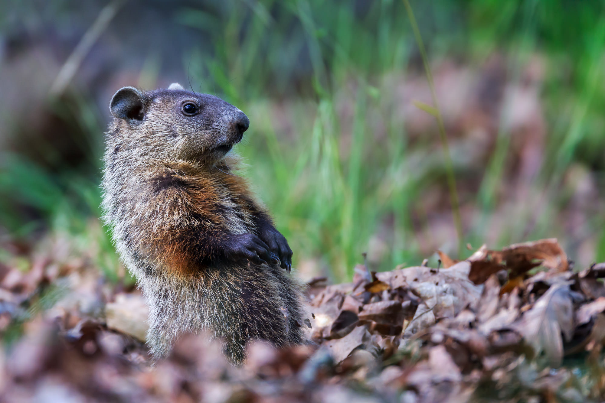 Groundhog, Virginia, photo