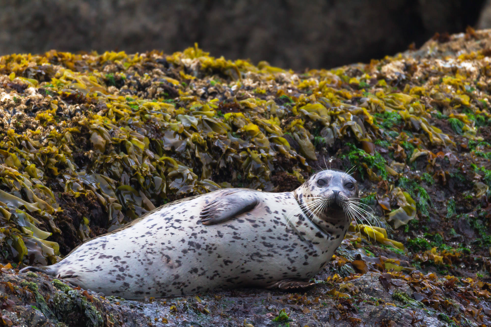 Harbor Seal Fine Art Photography A Limited Edition photograph of a Harbor Seal with really big whiskers on the rock at Yaquina...
