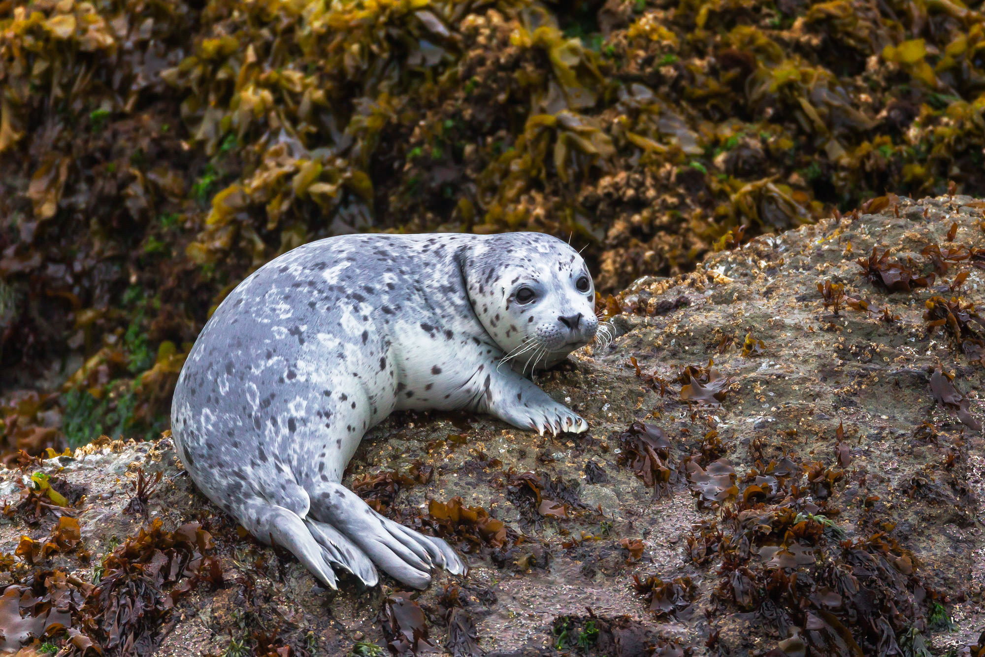 Seal, Harbor Seal, Oregon, Yaquina, limited edition, photograph, fine art, wildlife, photo