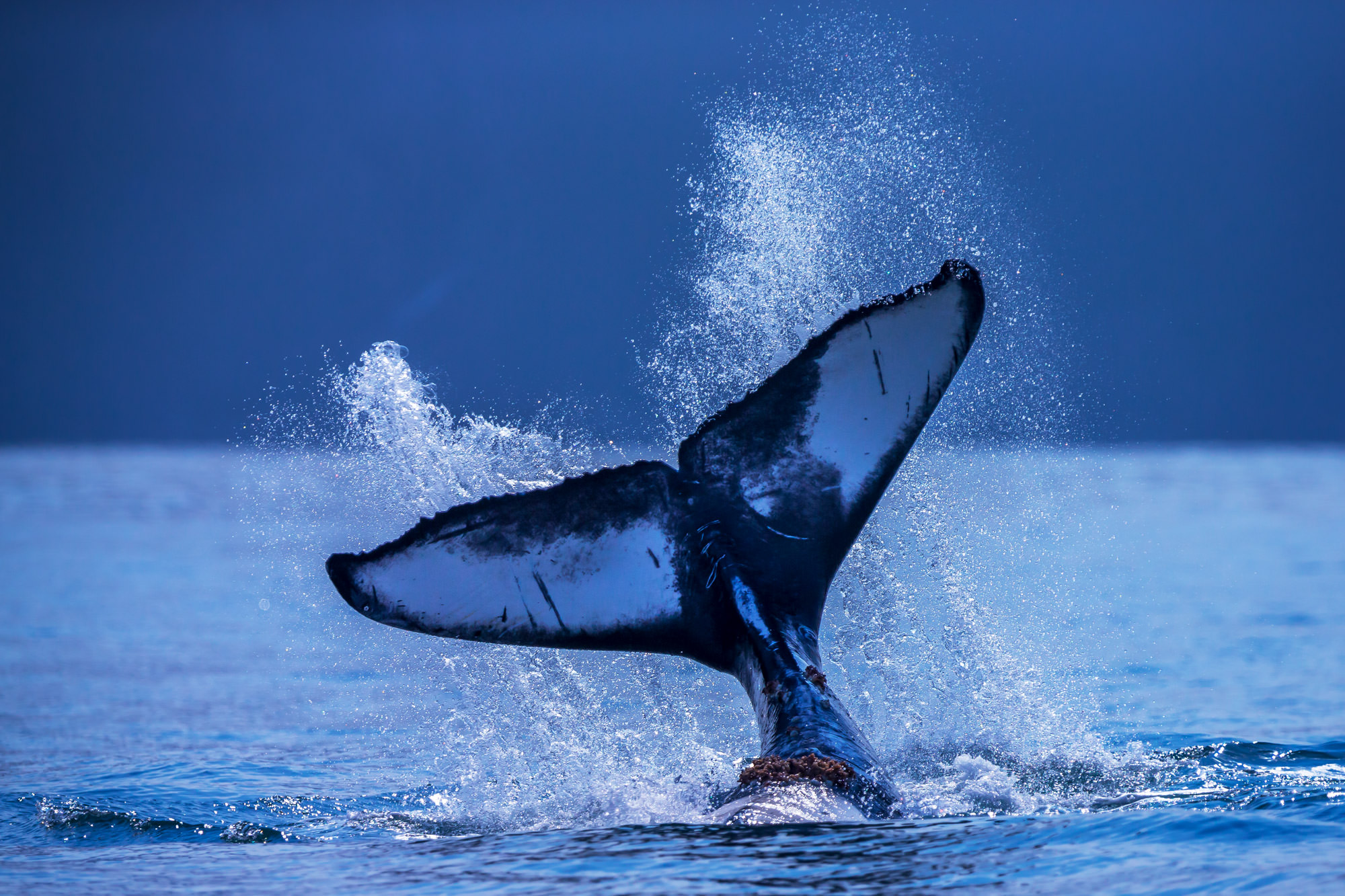 Humpback Whale Fine Art Photography A Limited Edition photograph of a Humpback Whale tail spashing on the water in Resurrection...