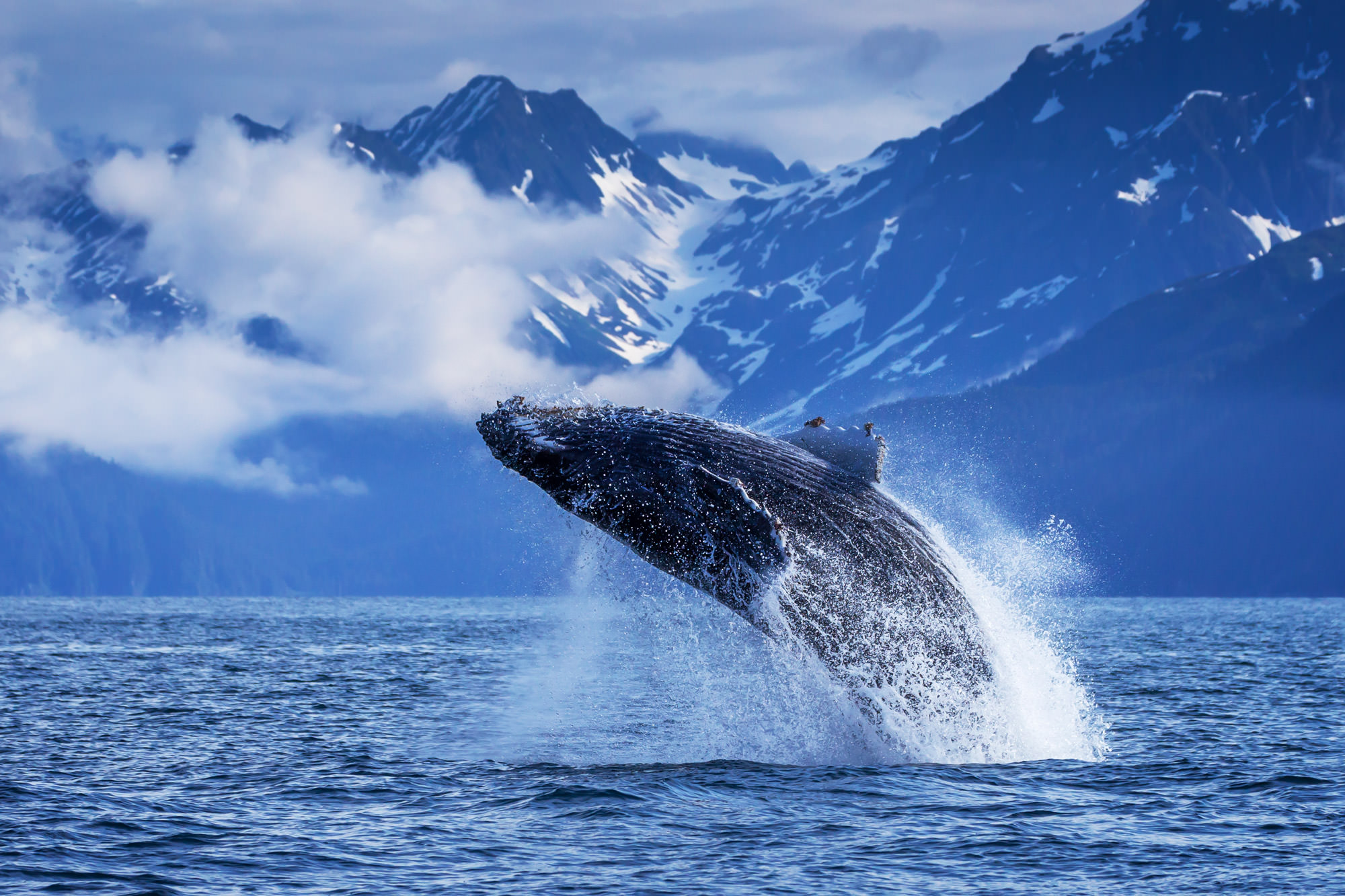 Whale, Humpback Whale, Alaska, Resurrection Bay, breach, limited edition, photograph, fine art, wildlife, photo