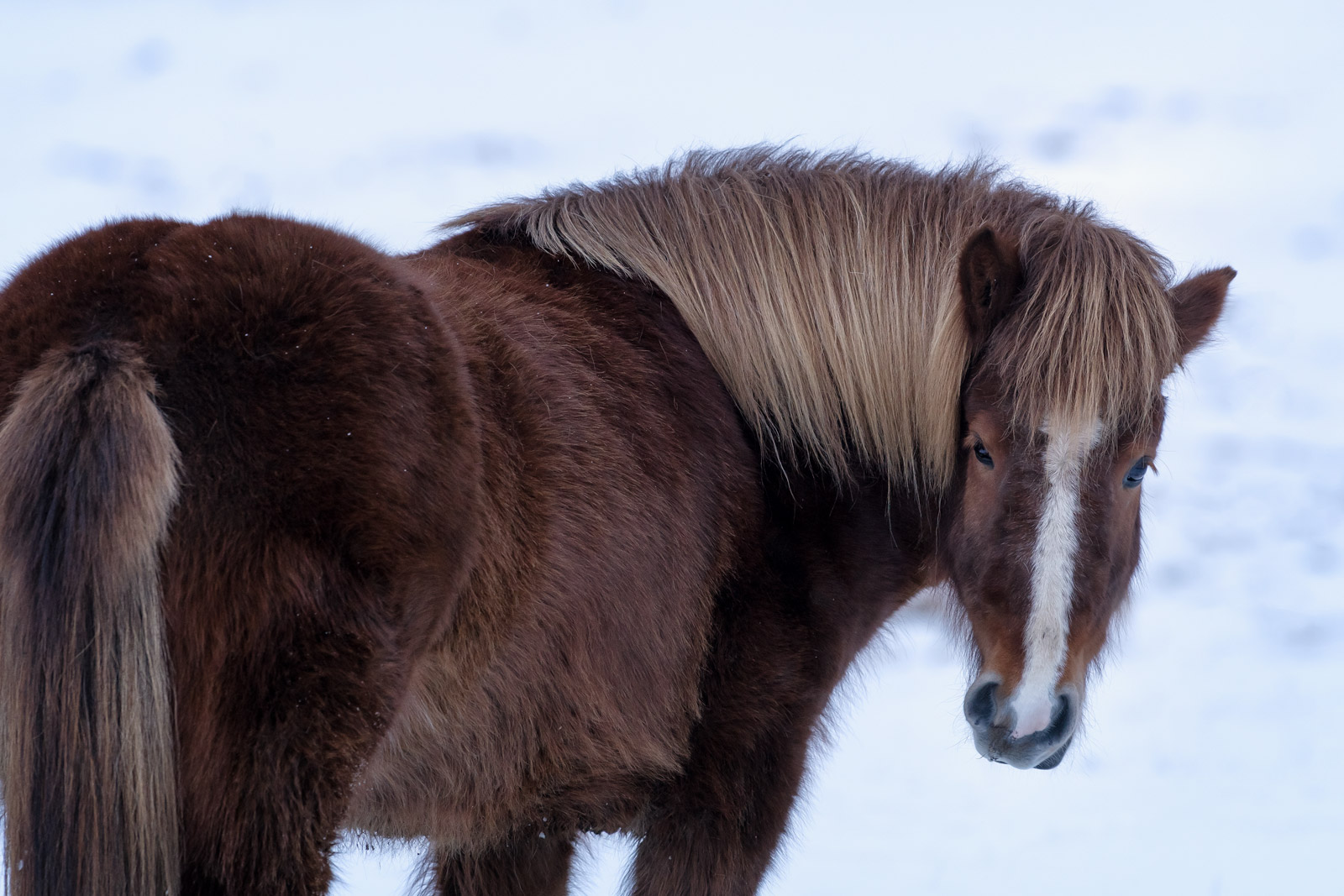 Iceland, Icelandic, Horses, Winter, Snow, photo