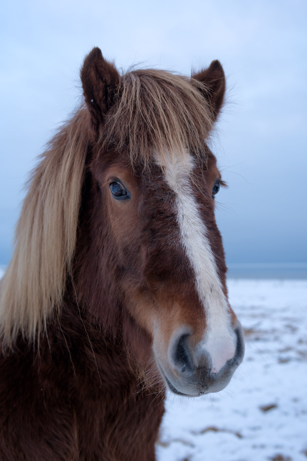 Iceland, Horses, Icelandic, winter, closeup, limited edition, photograph, photo