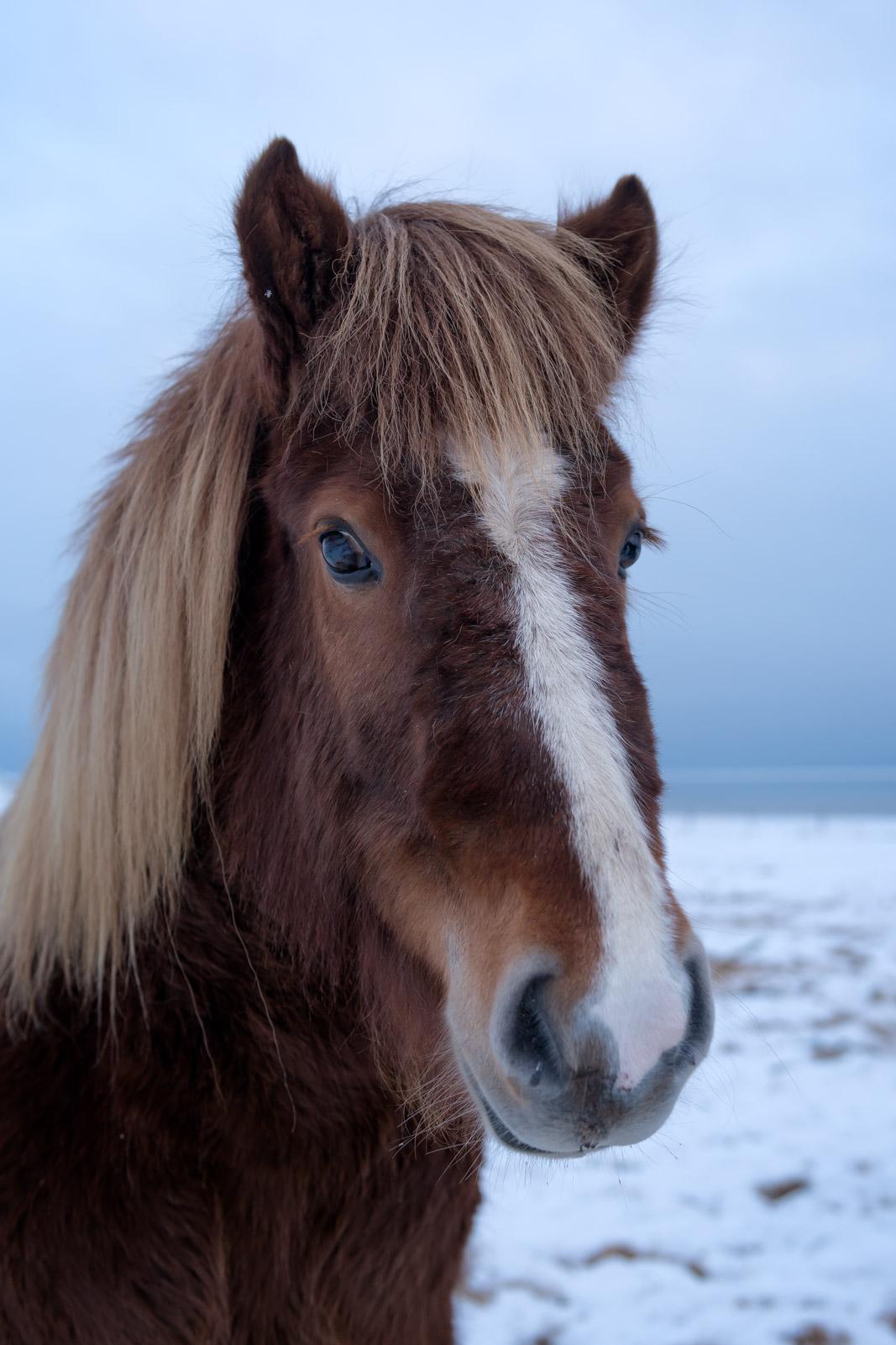 Iceland, Horses, Icelandic