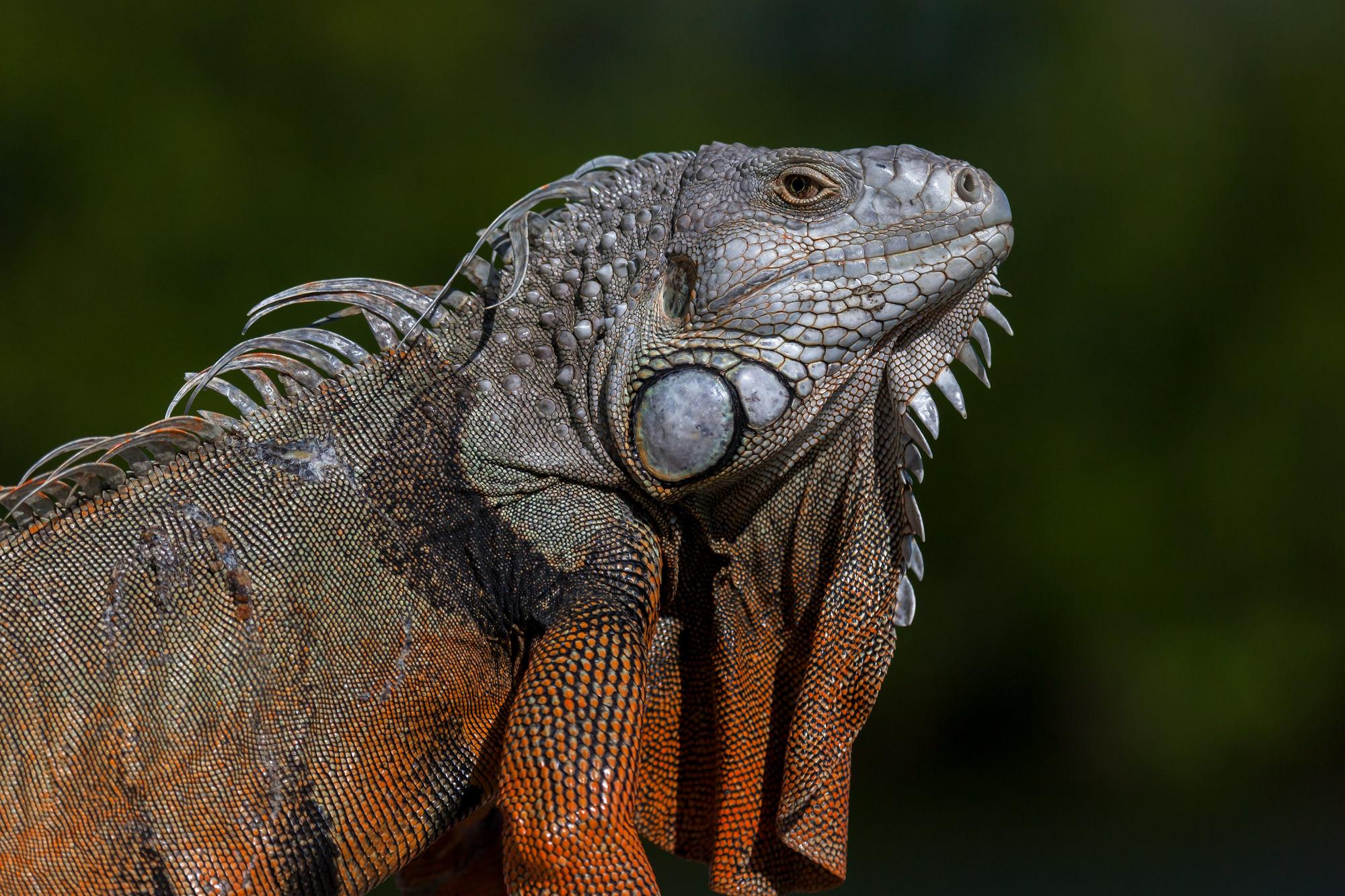 Iguana, Florida, limited edition, photograph, fine art, wildlife, photo