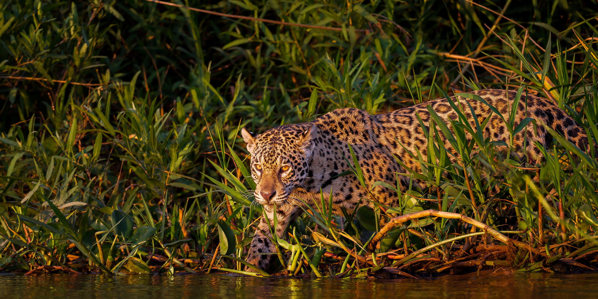 Jaguar, Brazil, Pantanal, limited edition, photograph, fine art, wildlife, photo