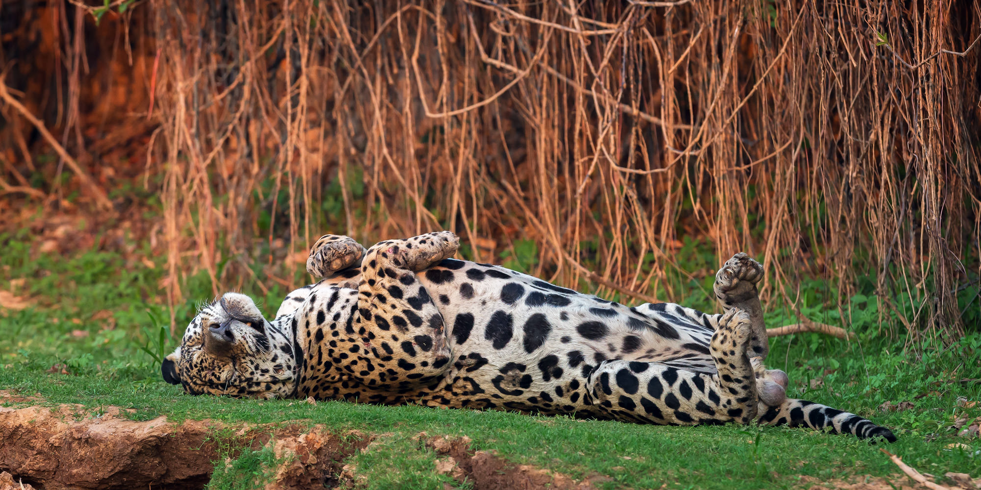 Jaguar Fine Art Photography A Limited Edition photograph of a Jaguar relaxing on it's back with no worries at The Pantanal in...
